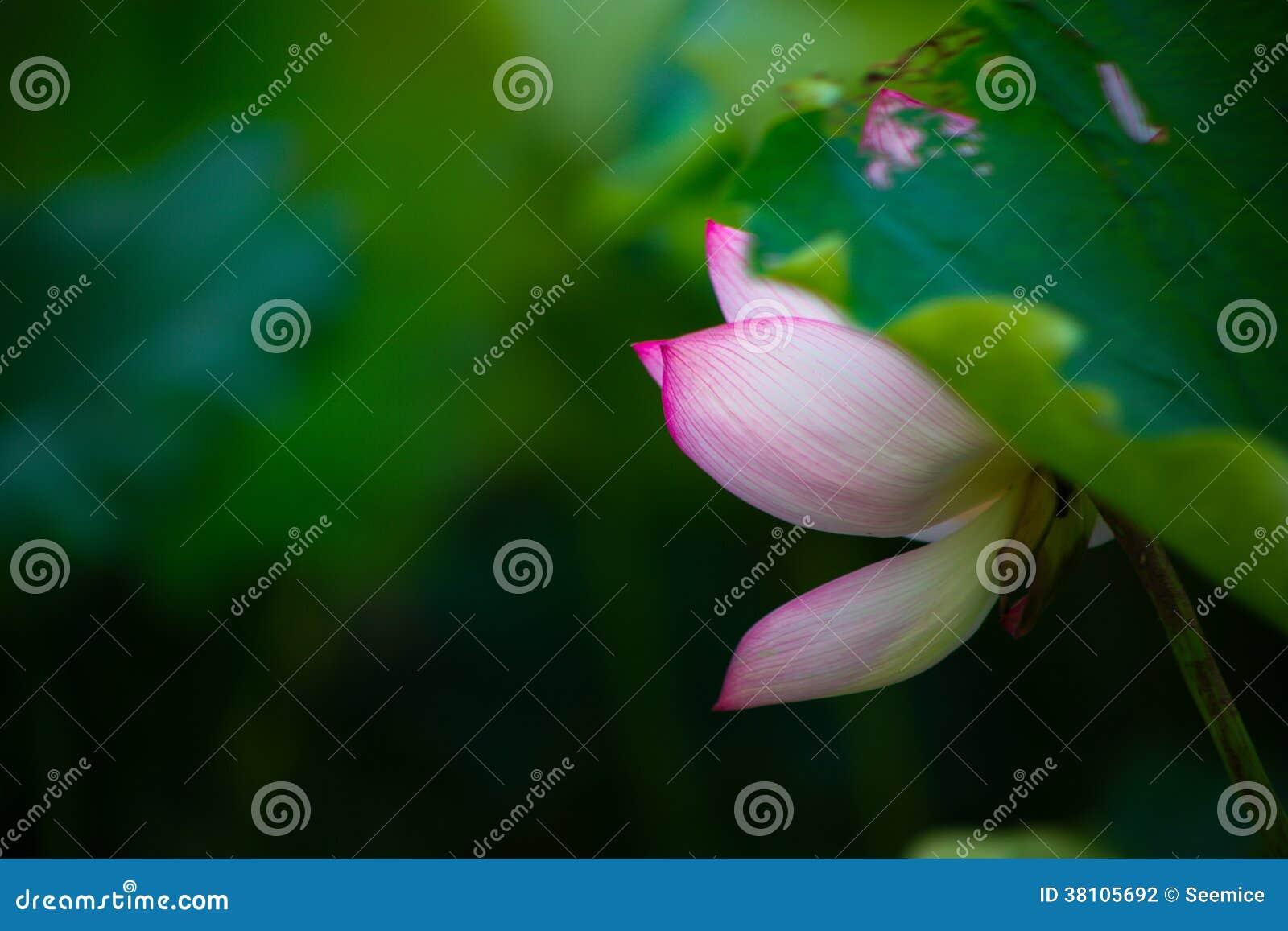 Lotus de floraison