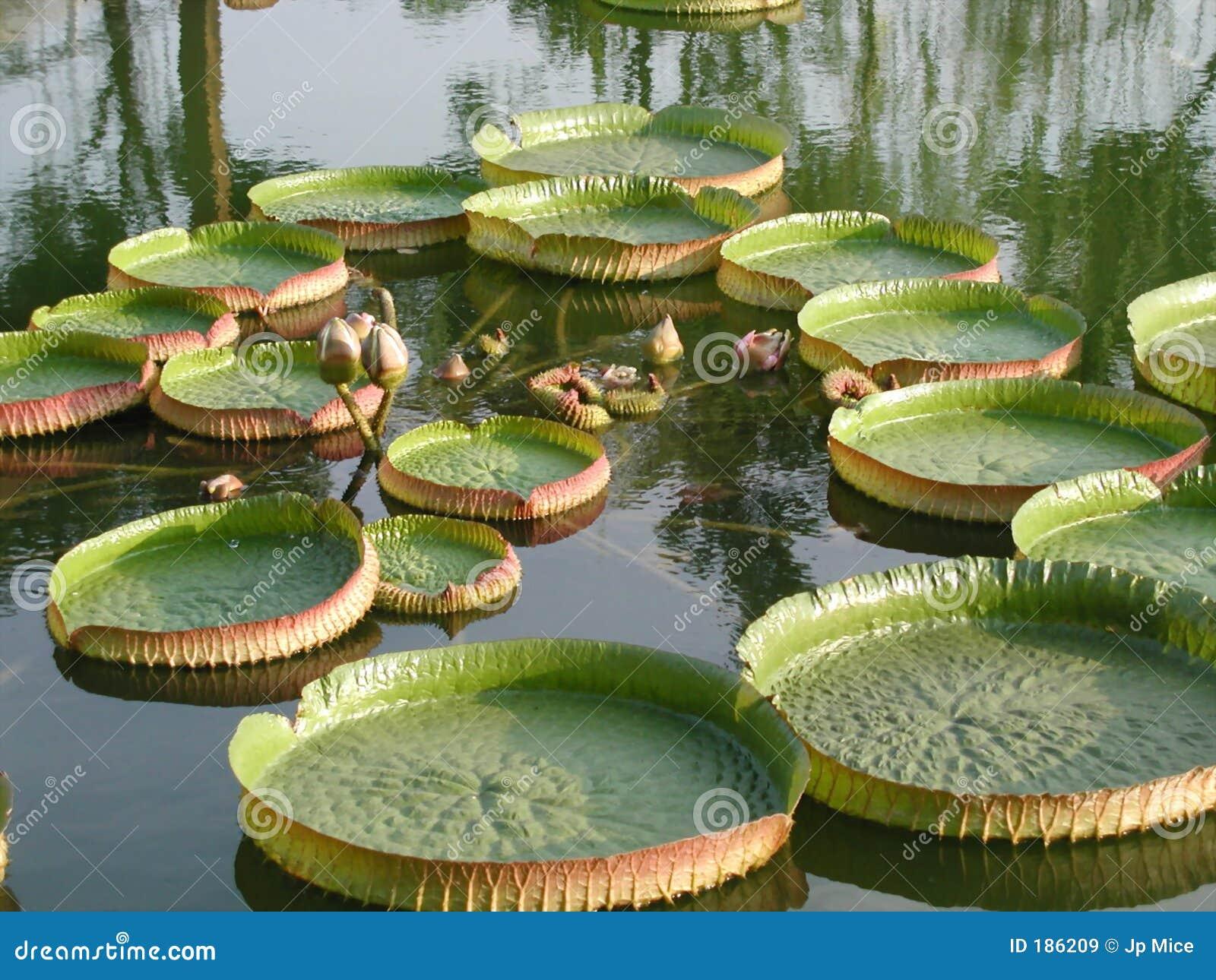 Lotus de flottement