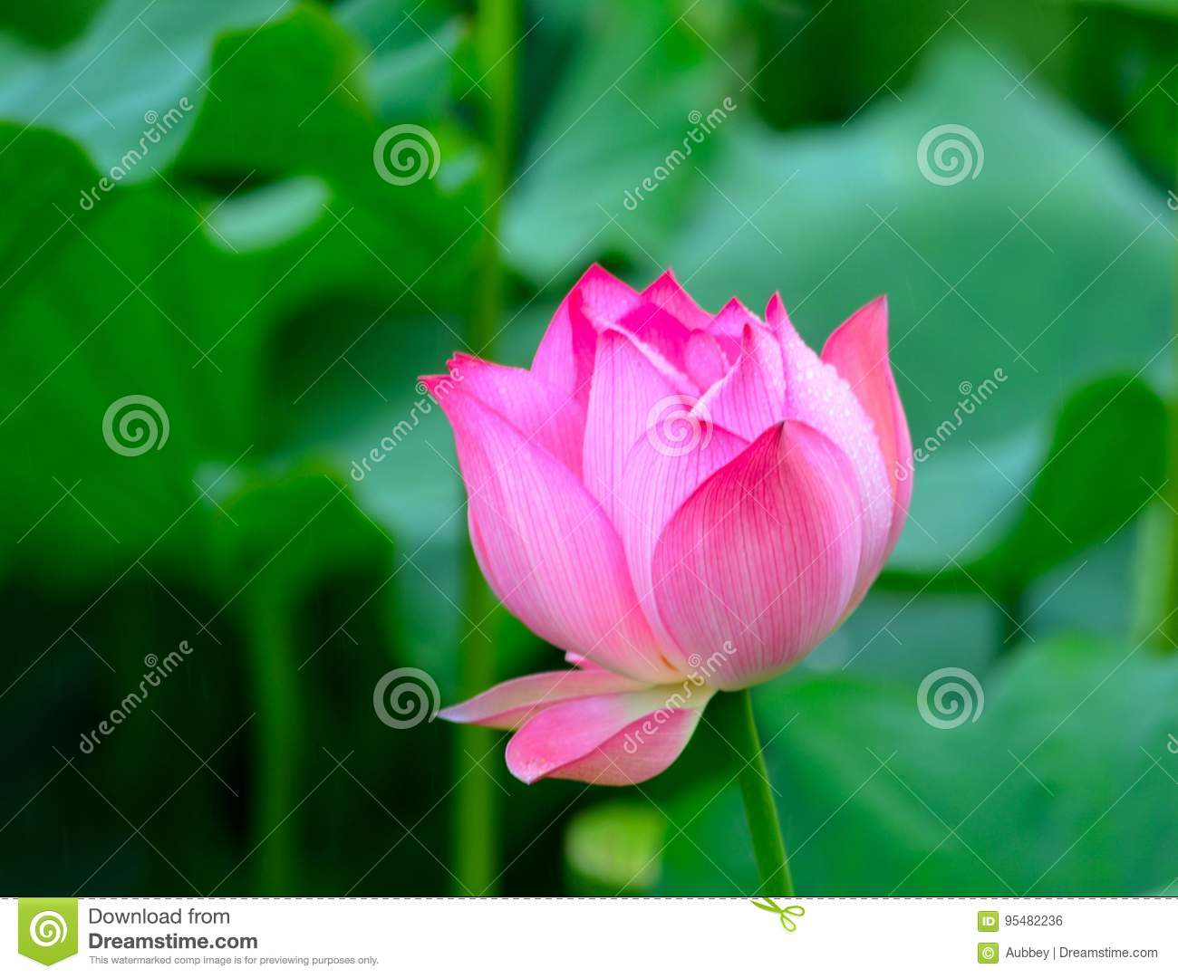 Lotus With Dew Stock Photo Image Of Became China Blooming 95482236