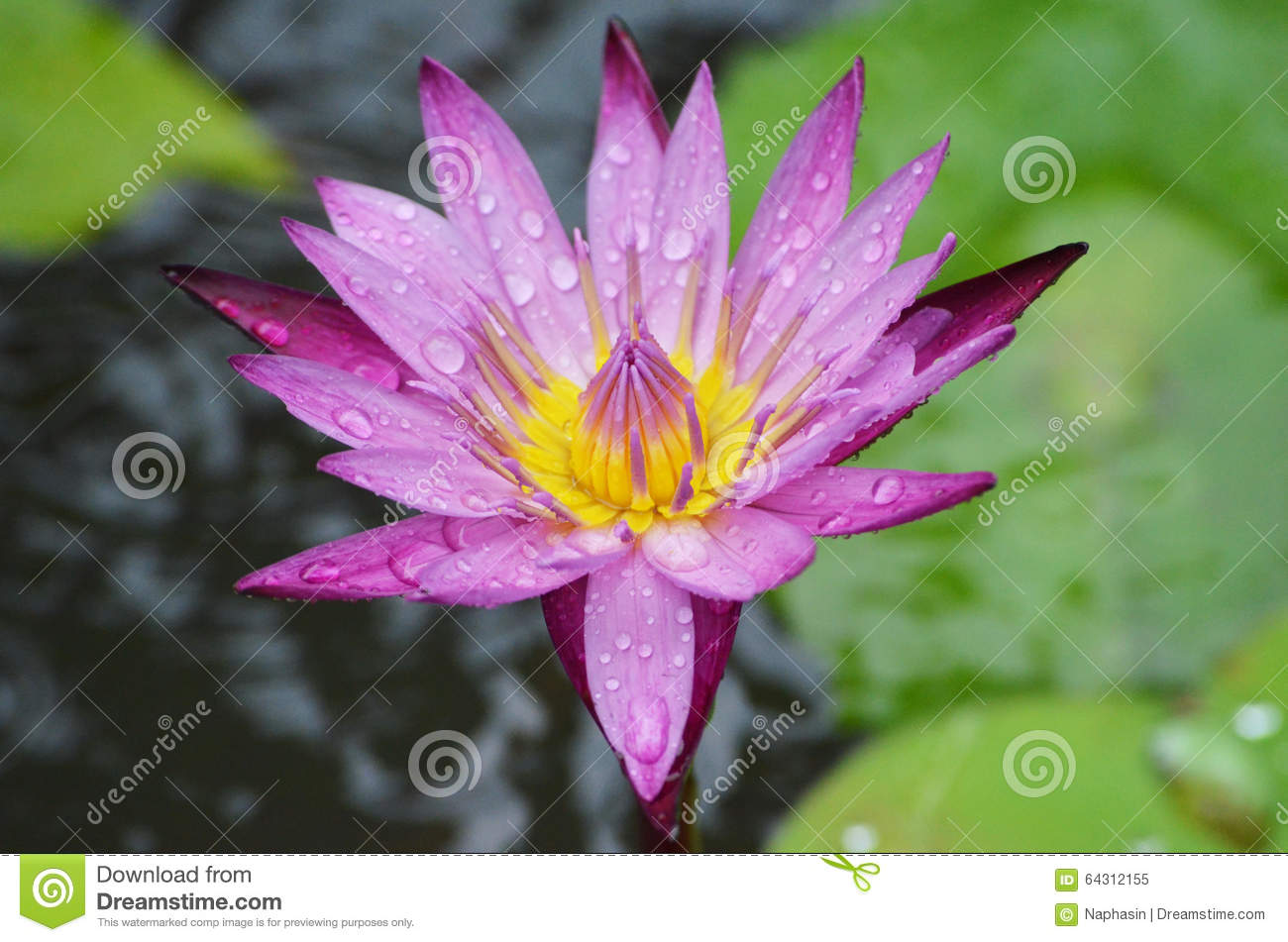 Lotus dhamma thailand stock image image of colourful 64312155 lotus flower thailand tree natural leaf chaingmai siam culture buddha buddhist izmirmasajfo