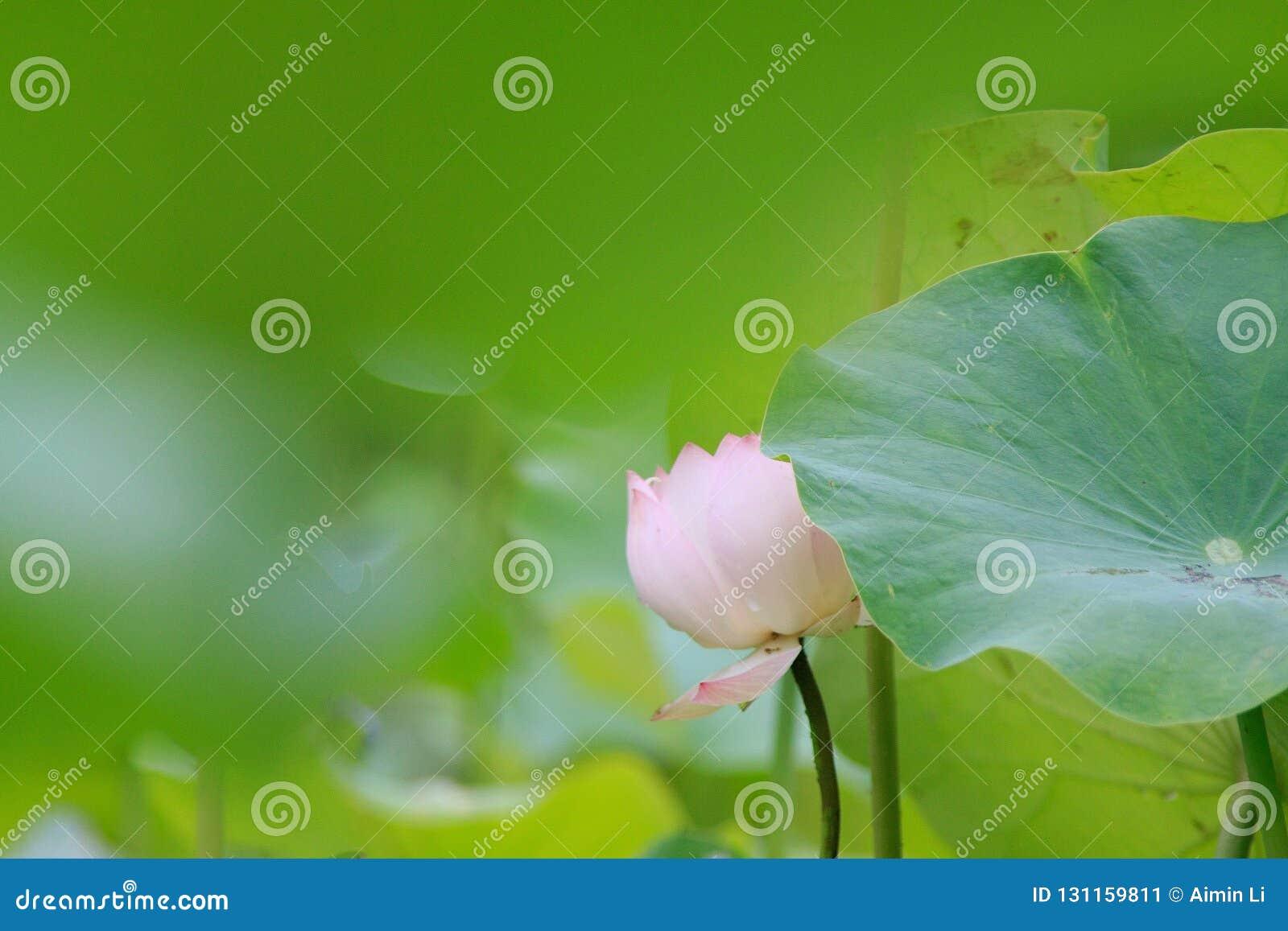 Lotus in droom