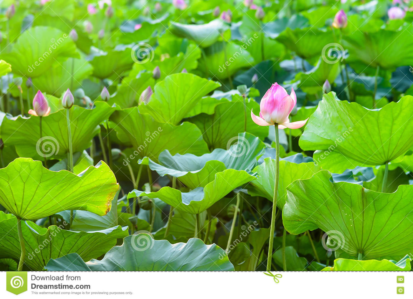 Lotus e a folha dos lótus