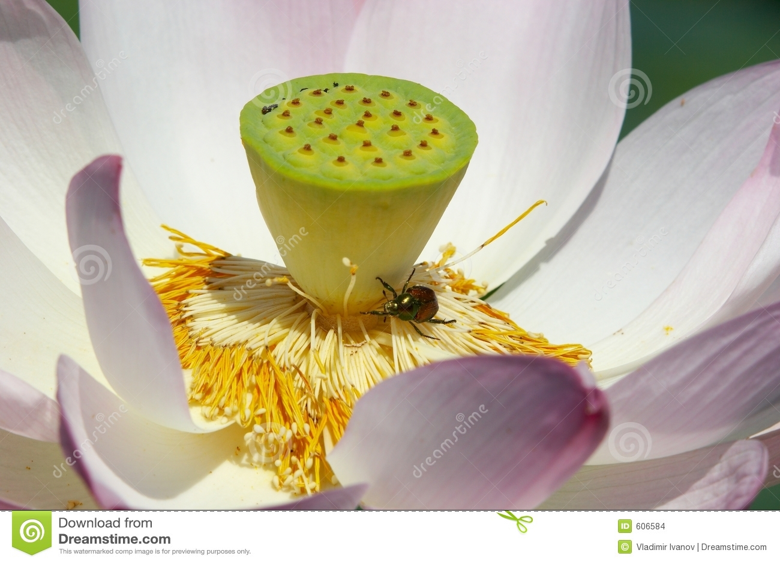 Lotus en insect
