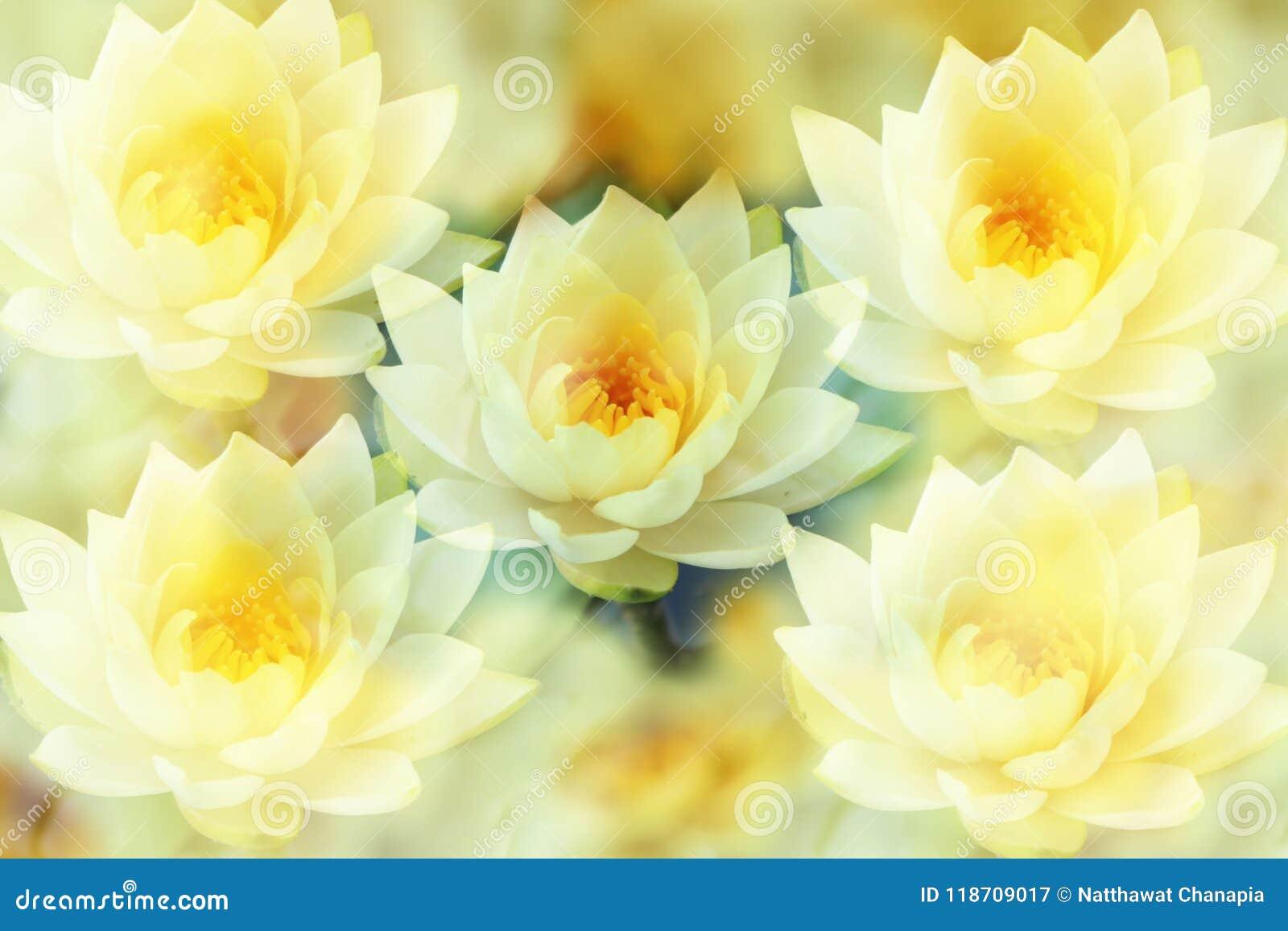 Lotus et le fond jaune faible