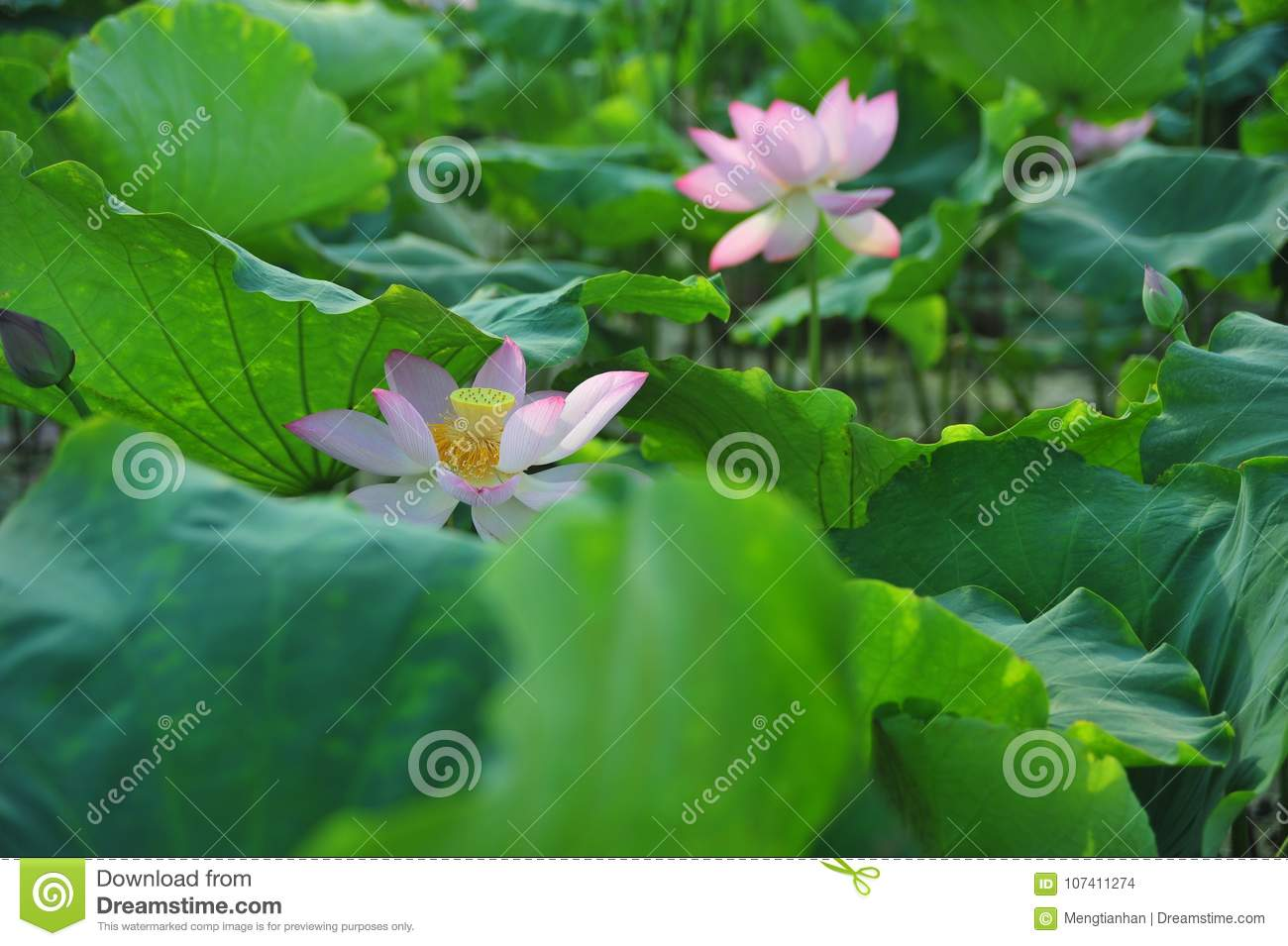 Lotus Field Lotus Flower Stock Photo Image Of Strong 107411274