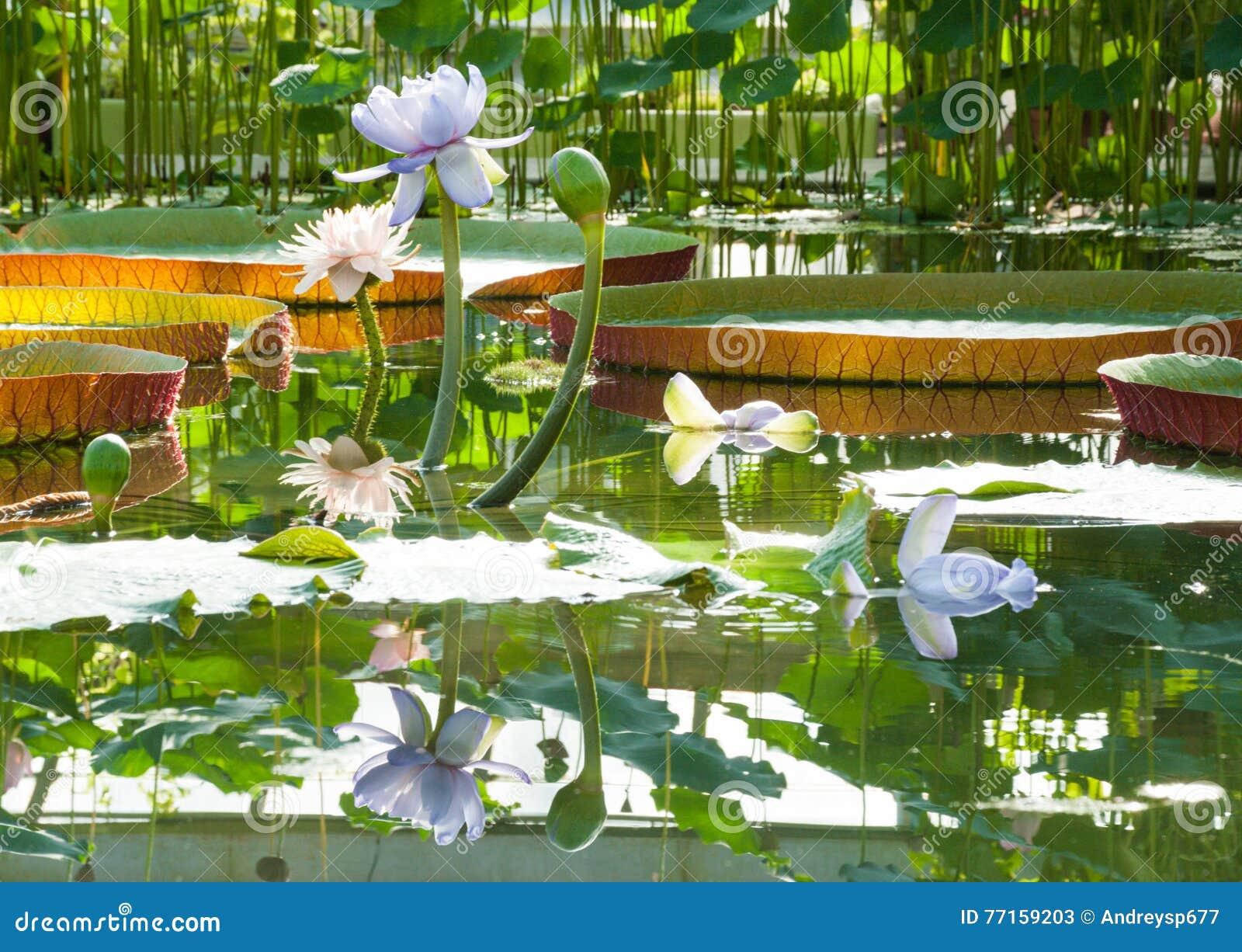 Lotus fleurit en serre chaude sur le fond de grands lis de Victoria Amazonian