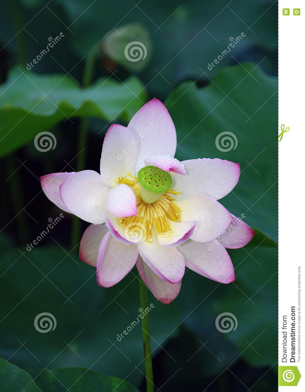 Lotus Flower Picture Image 15277577