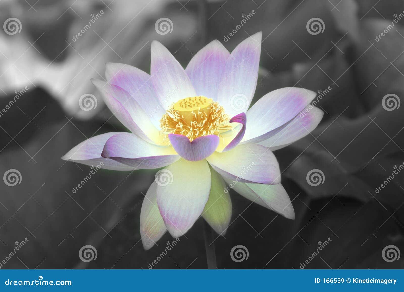 Lotus Flower Stock Image Image Of Conceptual Veins Flora 166539