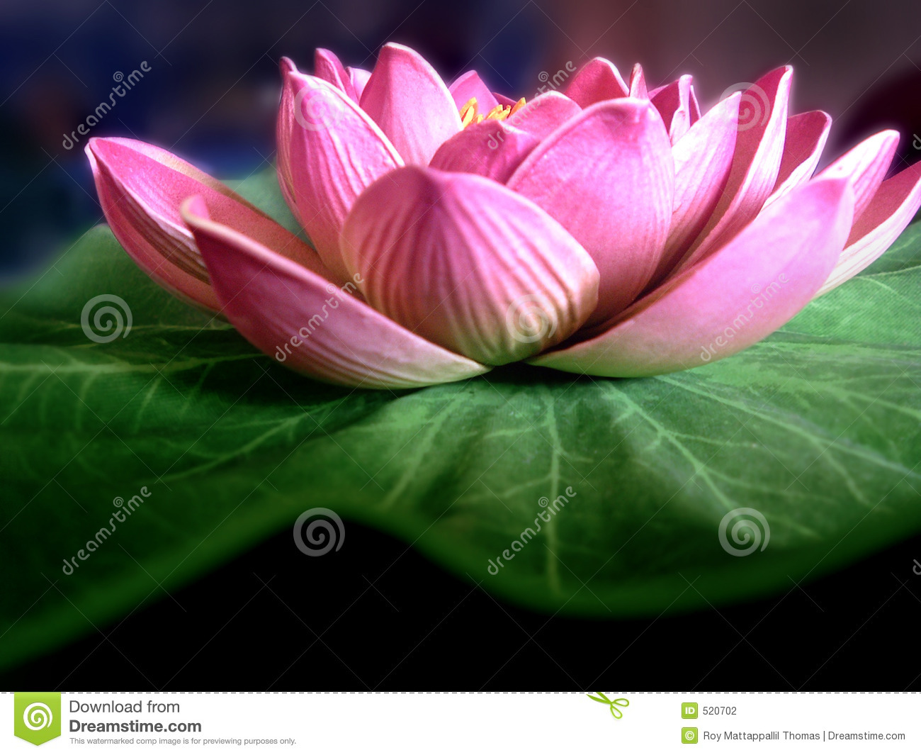 Stock Photography Lotus Flower Image520702 on bamboo orchid