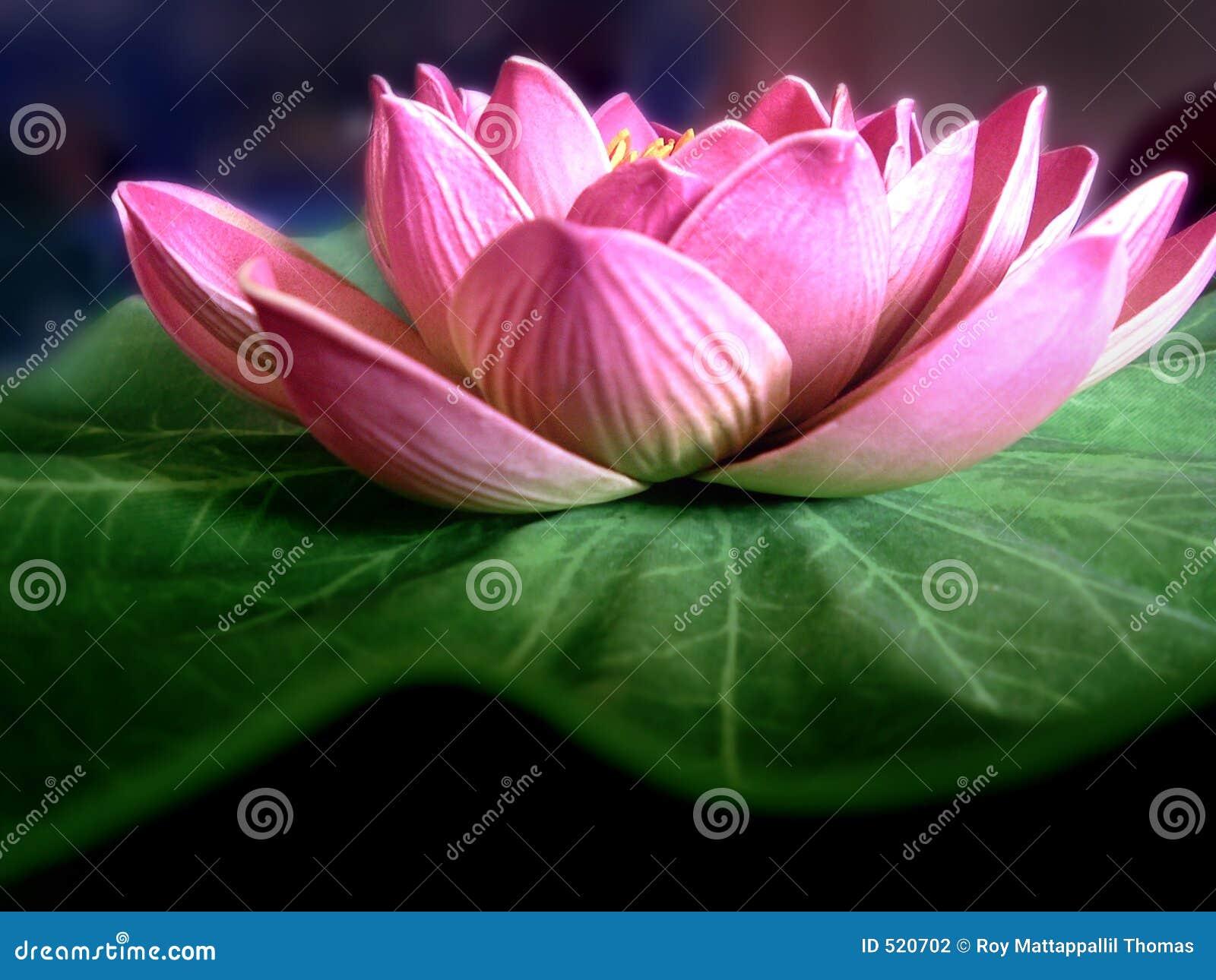 Lotus Flower Stock Photography Image 520702