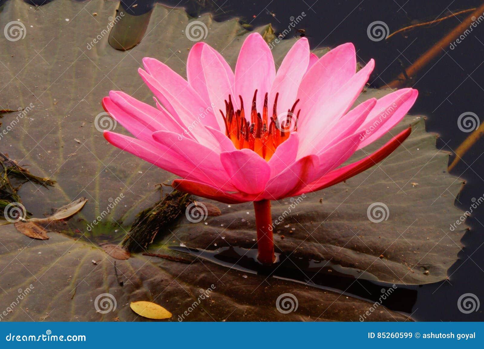 Lotus Flower Stock Image Image Of India Flower Symbol 85260599