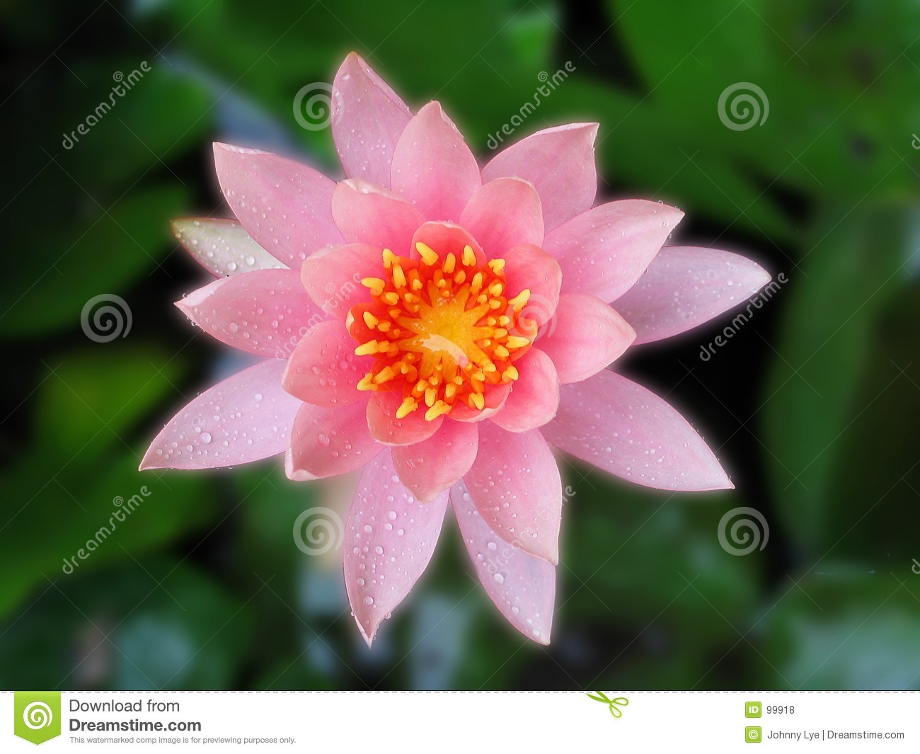 Lotus flower stock photo image of pink rain flower closeup 99918 lotus flower after rain izmirmasajfo