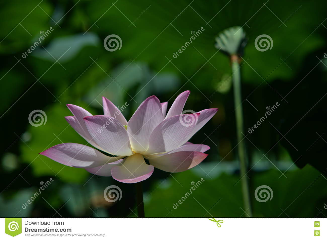 A lotus flower along with a lotus root in same frame stock image download a lotus flower along with a lotus root in same frame stock image image mightylinksfo