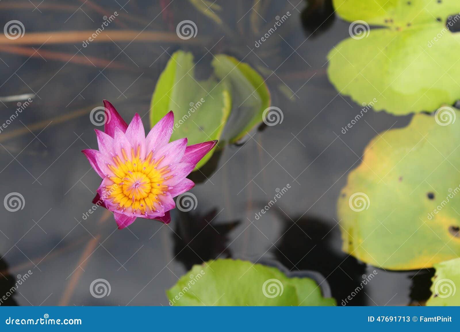 Lotus Flower Stock Image Image Of Flower Perennial 47691713