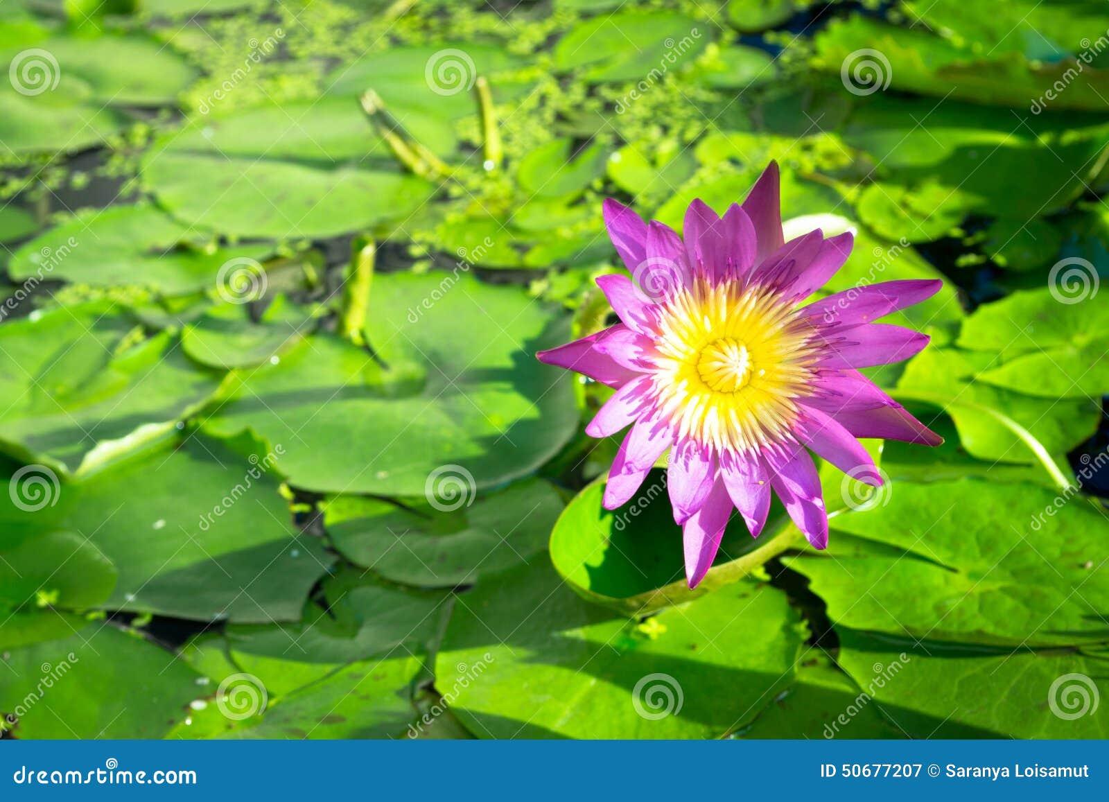 Lotus Flower Stock Image Image Of Flower Lungs Nurturing 50677207