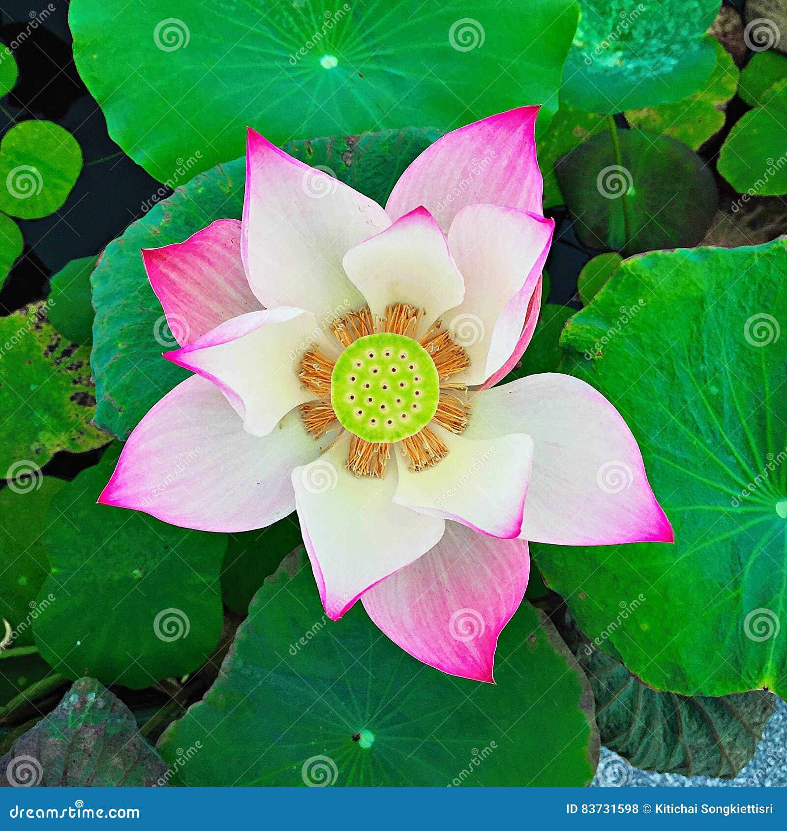 Lotus flower beautiful thai stock photo image of pure leaf 83731598 download lotus flower beautiful thai stock photo image of pure leaf 83731598 izmirmasajfo