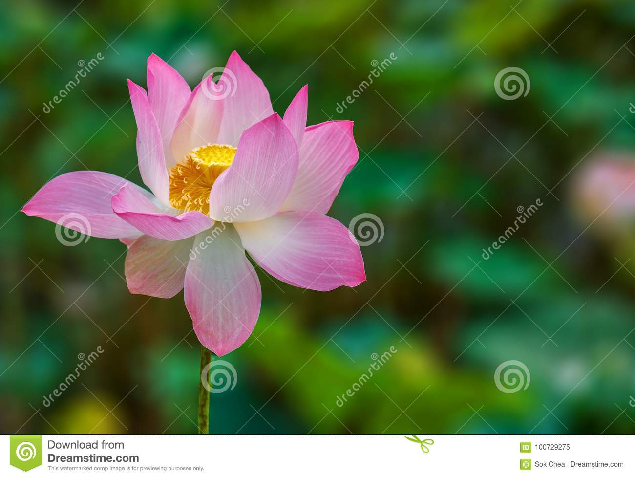 Lotus Flower Beautifully Bloom With Green Background Stock Image
