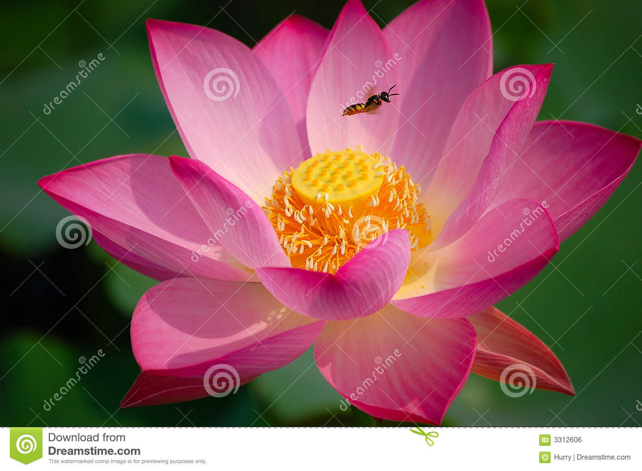 Lotus Flower And Bee Stock Photo Image Of Background 3312606