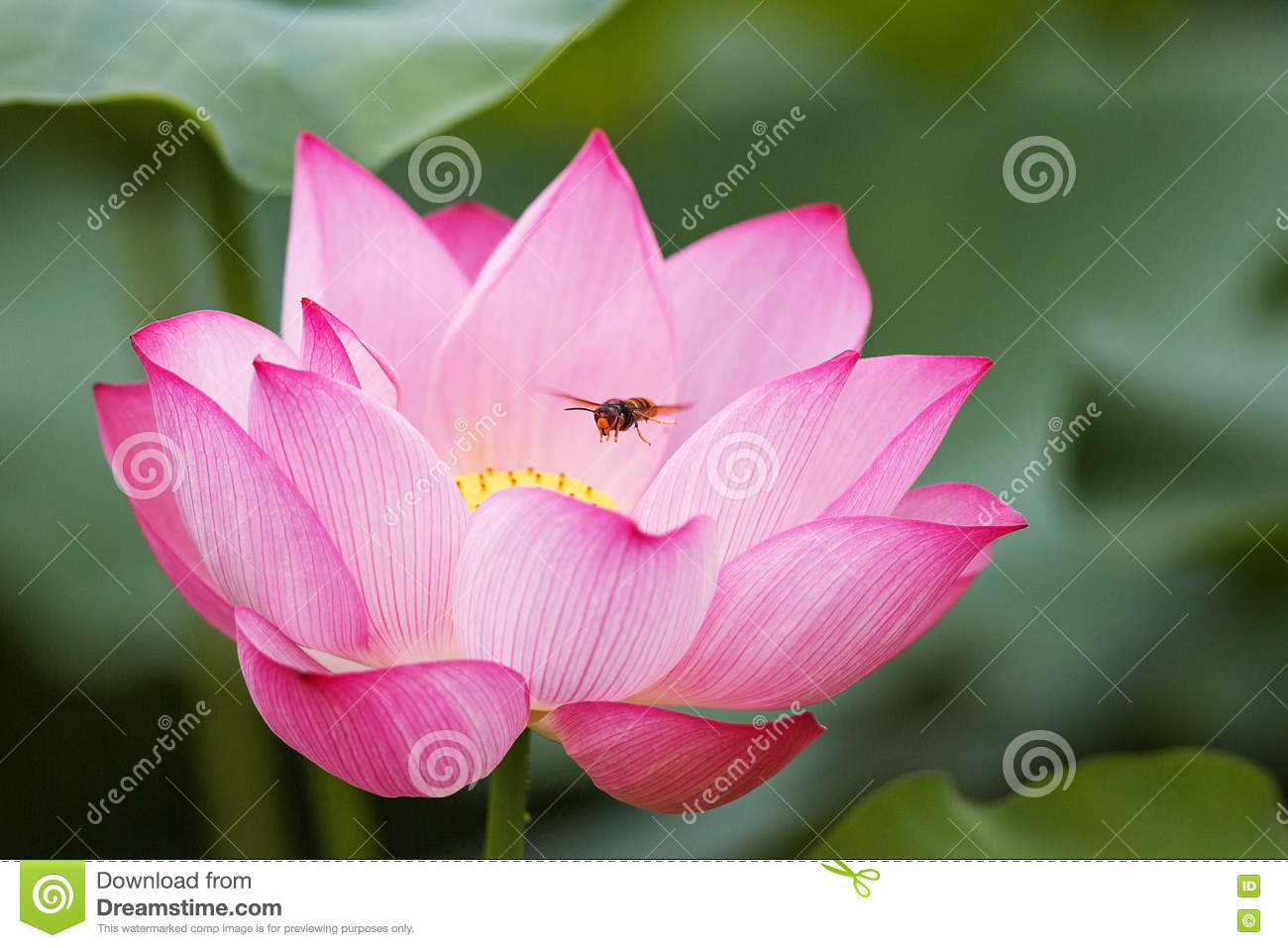 lotus blossom and bee stock photo  image, Beautiful flower