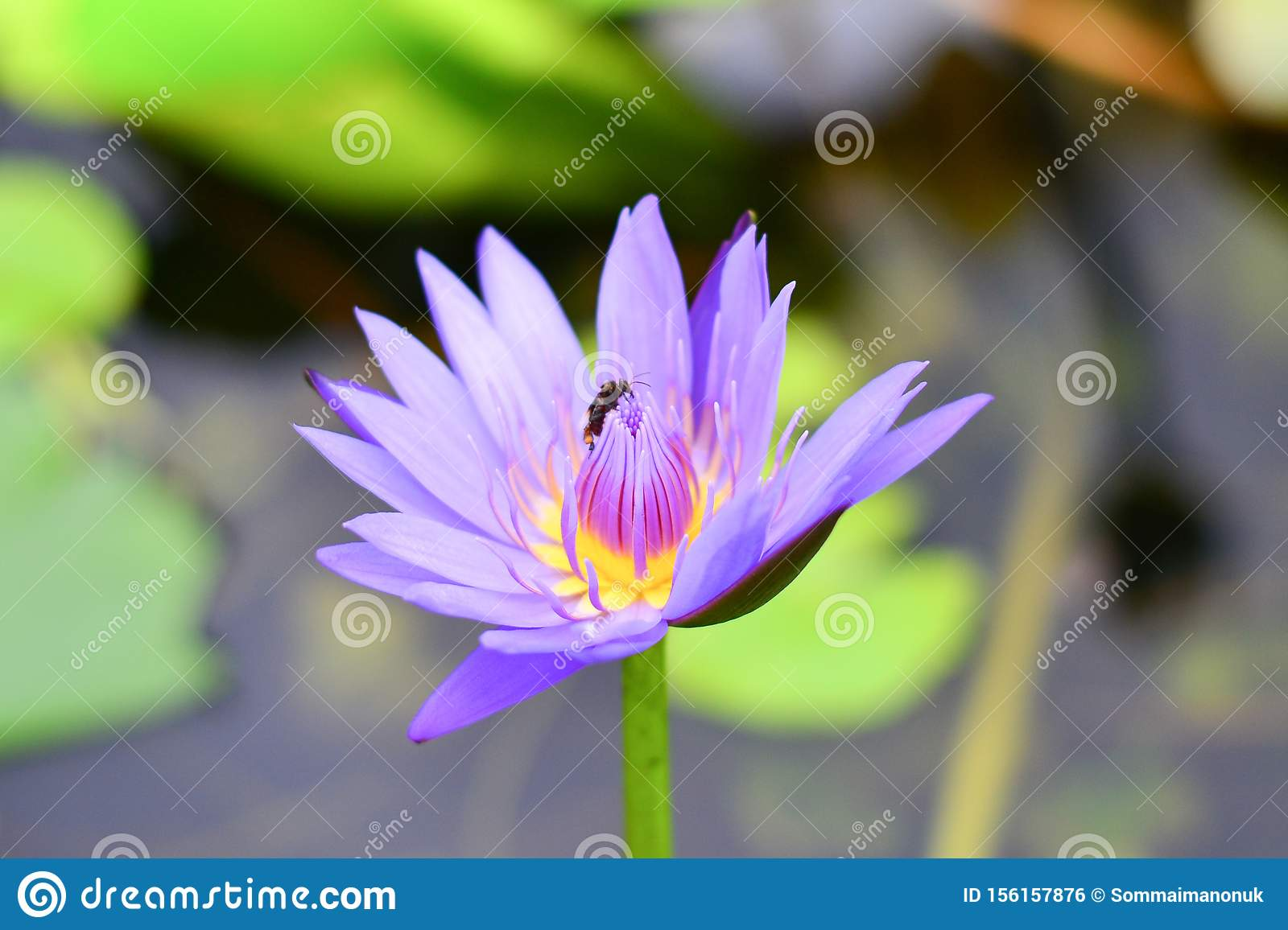 The Lotus Flower with the Bee. The bee was approaching the center of flower finding its food based on sweet aroma of the flower