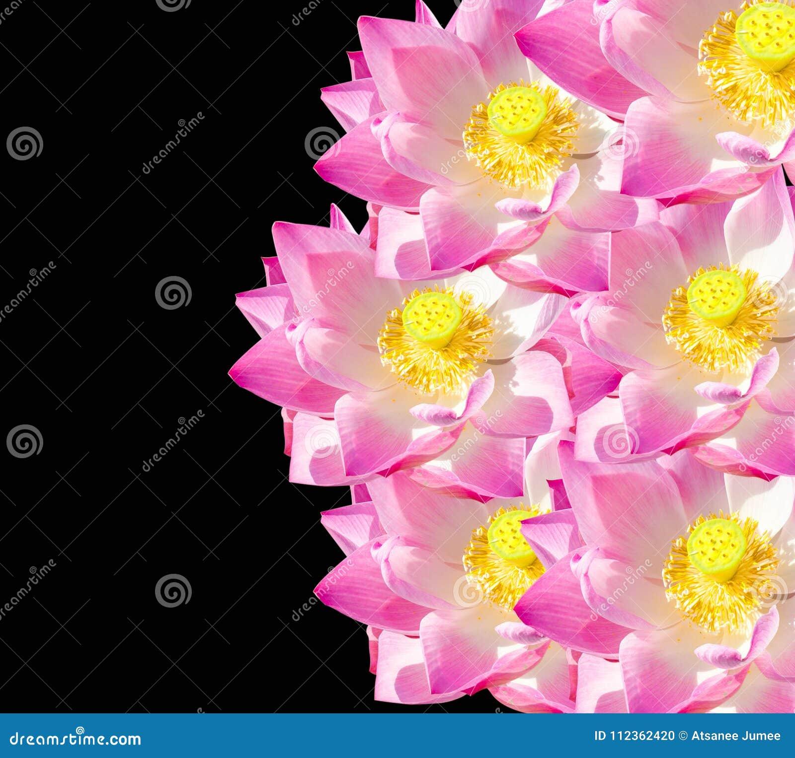 Lotus Flower On Black Background