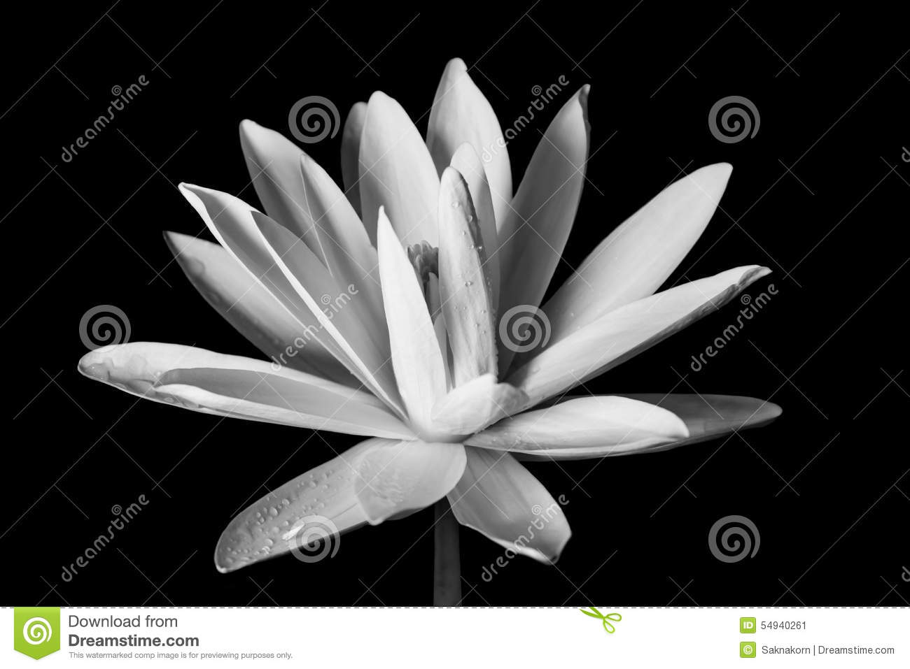 Lotus flower stock image image of beauty black peace 54940261 lotus flower in black and white style mightylinksfo