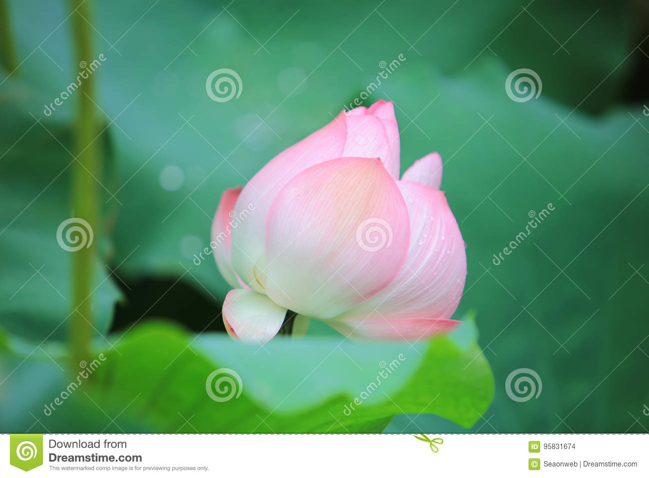 Lotus Flower Blossom At The Rain Day Stock Photo Image Of Bloom