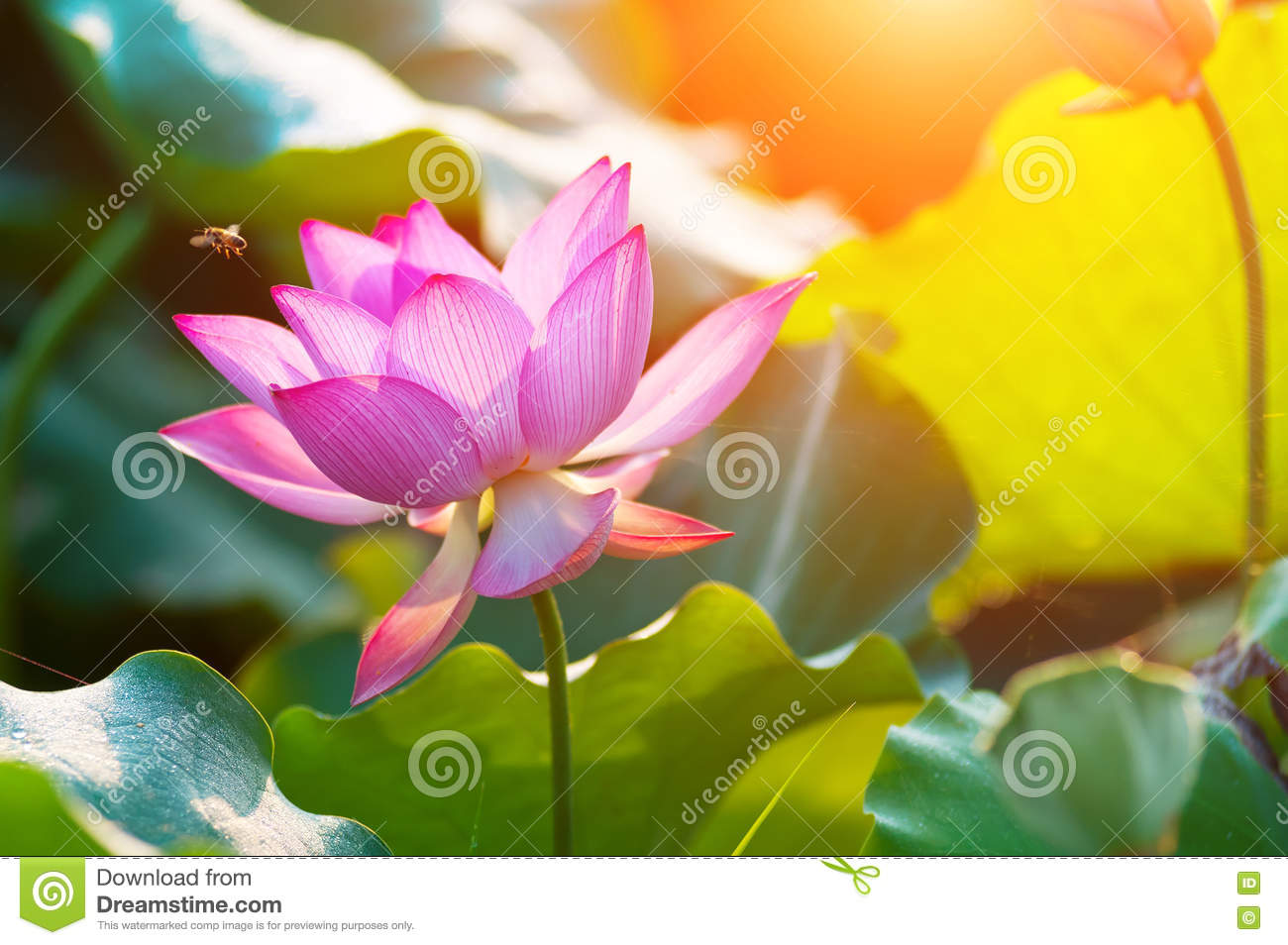 Lotus Flower Blossom In Summer Stock Photo Image Of Leaf Green