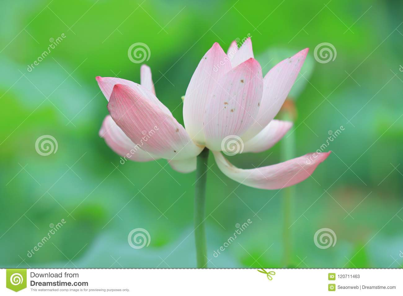 A lotus flower blossom at summer time stock image image of lotus a lotus flower blossom at summer time izmirmasajfo