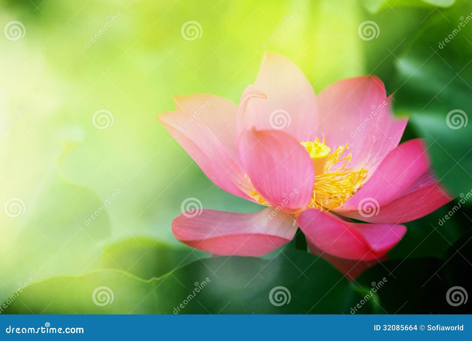 Lotus Stock Photo Image Of India Egypt Buddhism Nelumbo 32085664
