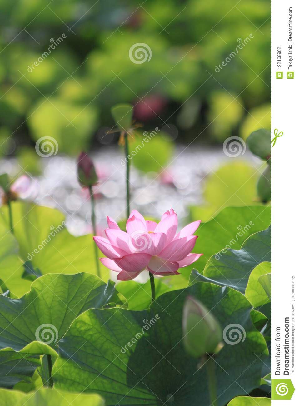 Lotus Flower Blossoms In A Japanese Garden Stock Photo Image Of