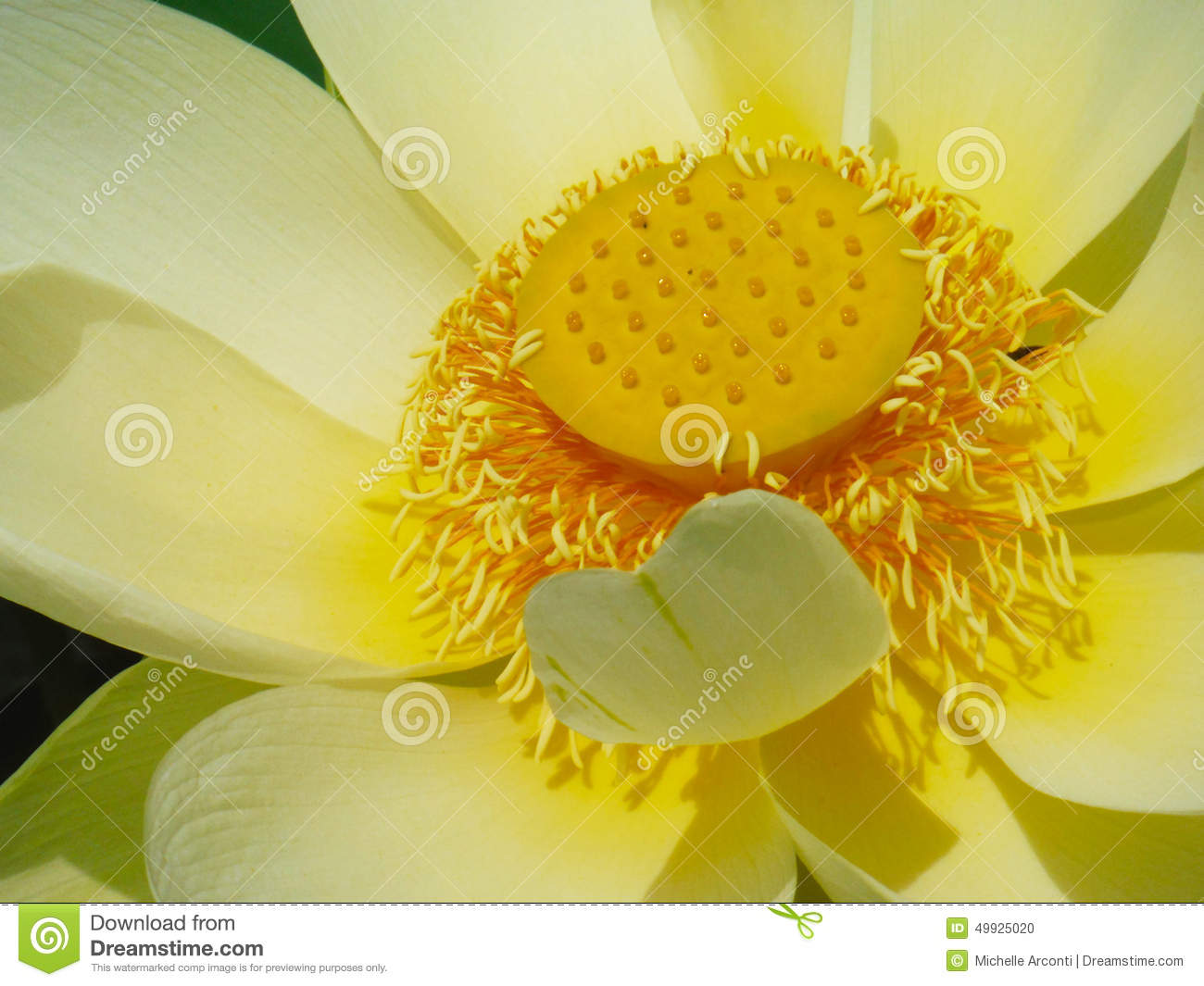 Lotus Flower Book Cover Stock Photo Image Of Single 49925020