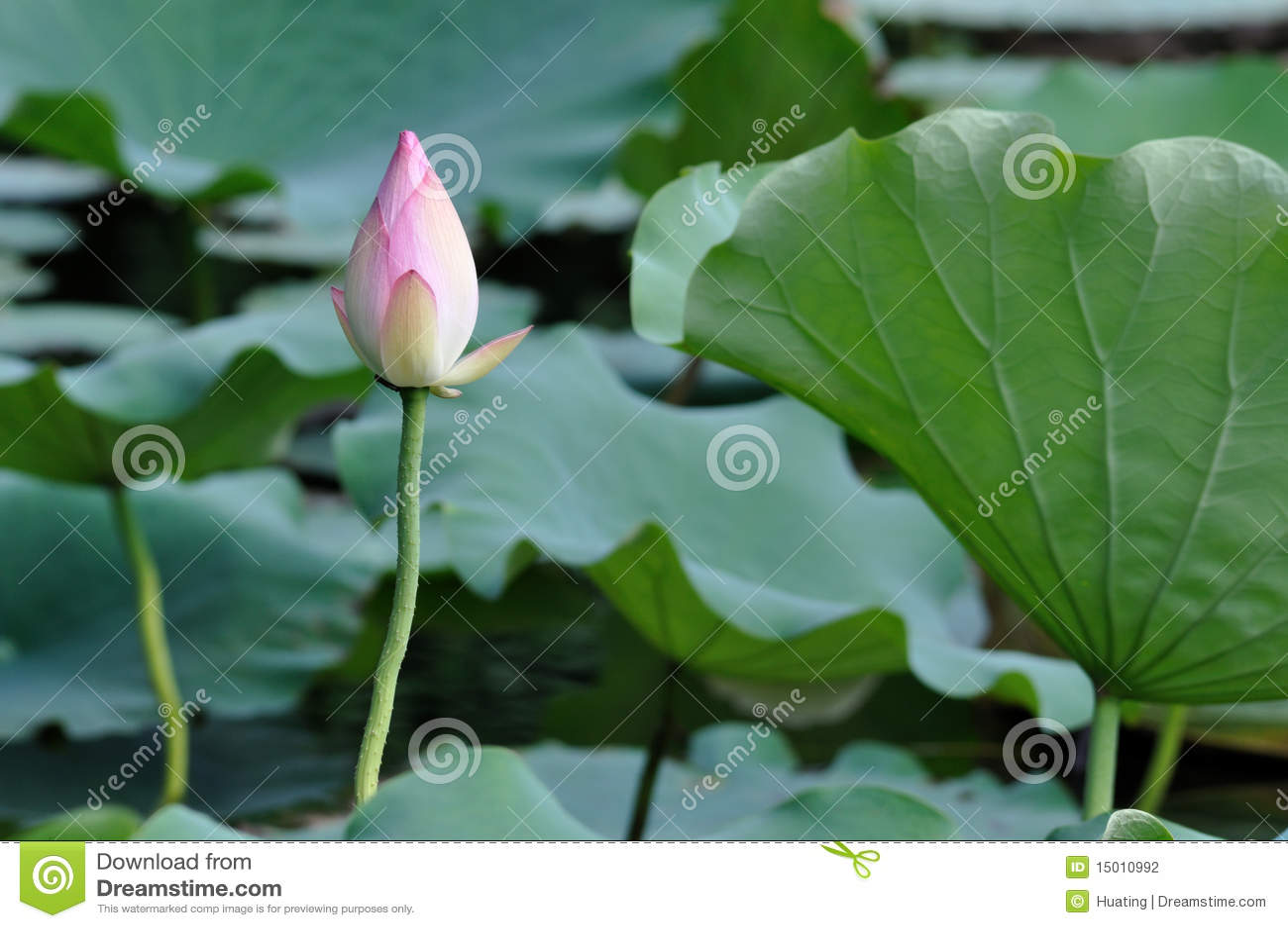 Lotus flower bud stock photo image of china creek botanical lotus flower bud izmirmasajfo