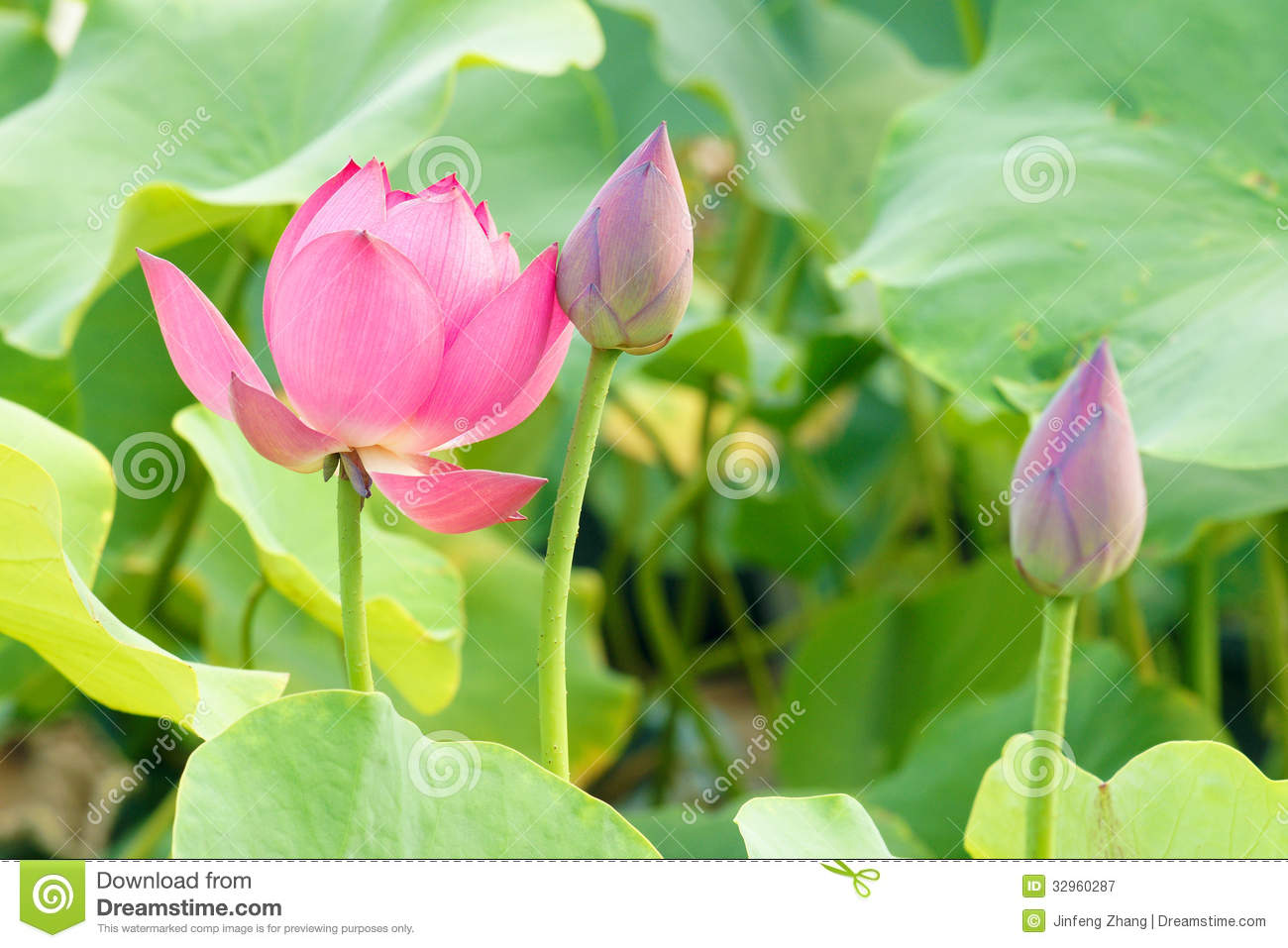 Lotus Flower And Bud Stock Image Image Of Blossom Summer 32960287