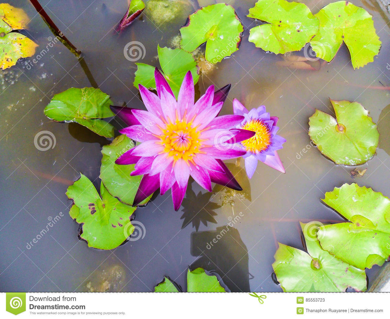 Lotus Flower For Buddhism Stock Image Image Of Plant 85553723