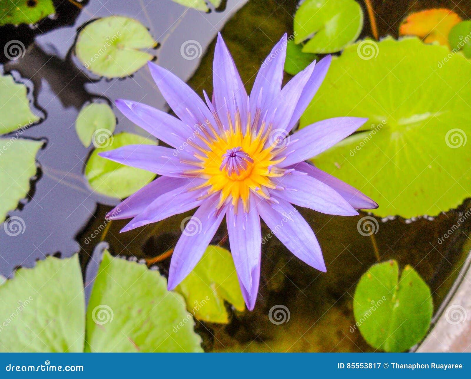 Lotus Flower Buddhism Gallery Flower Wallpaper Hd