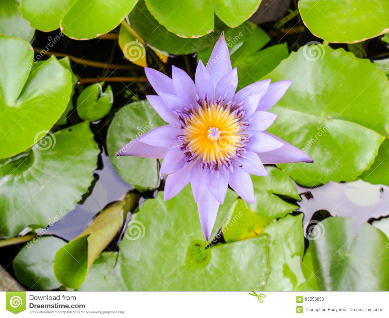 Lotus flower for buddhism stock photo image of garden 85553830 lotus flower for buddhism mightylinksfo