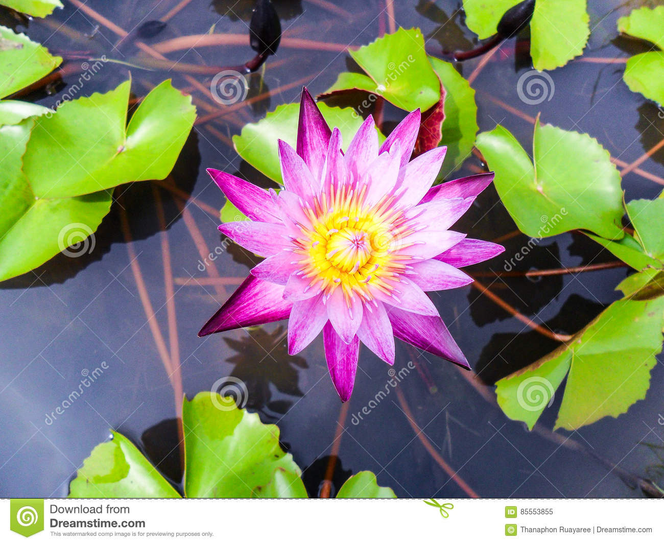 Lotus Flower For Buddhism Stock Image Image Of Plant 85553855