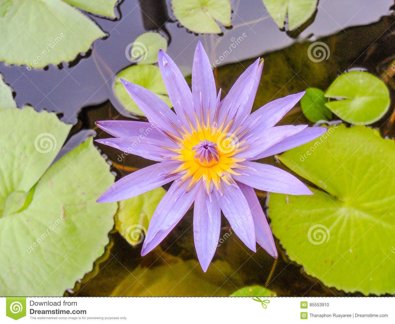 Lotus flower for buddhism stock photo image of bloom 85553910 download lotus flower for buddhism stock photo image of bloom 85553910 mightylinksfo