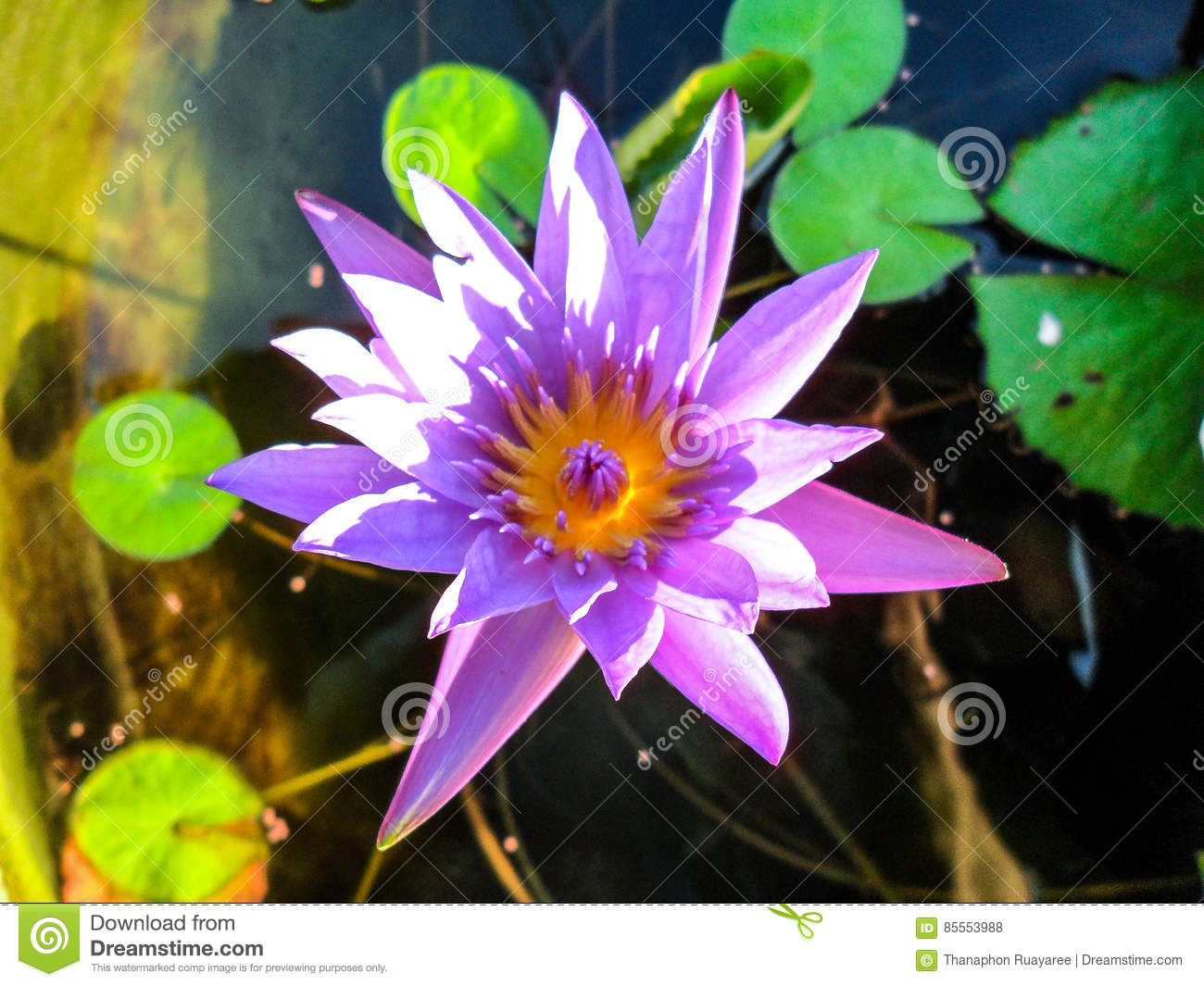 Lotus flower for buddhism stock photo image of countryside 85553988 lotus is a flower that familiar and favorable with thai people from the past and a flower for buddhism mightylinksfo