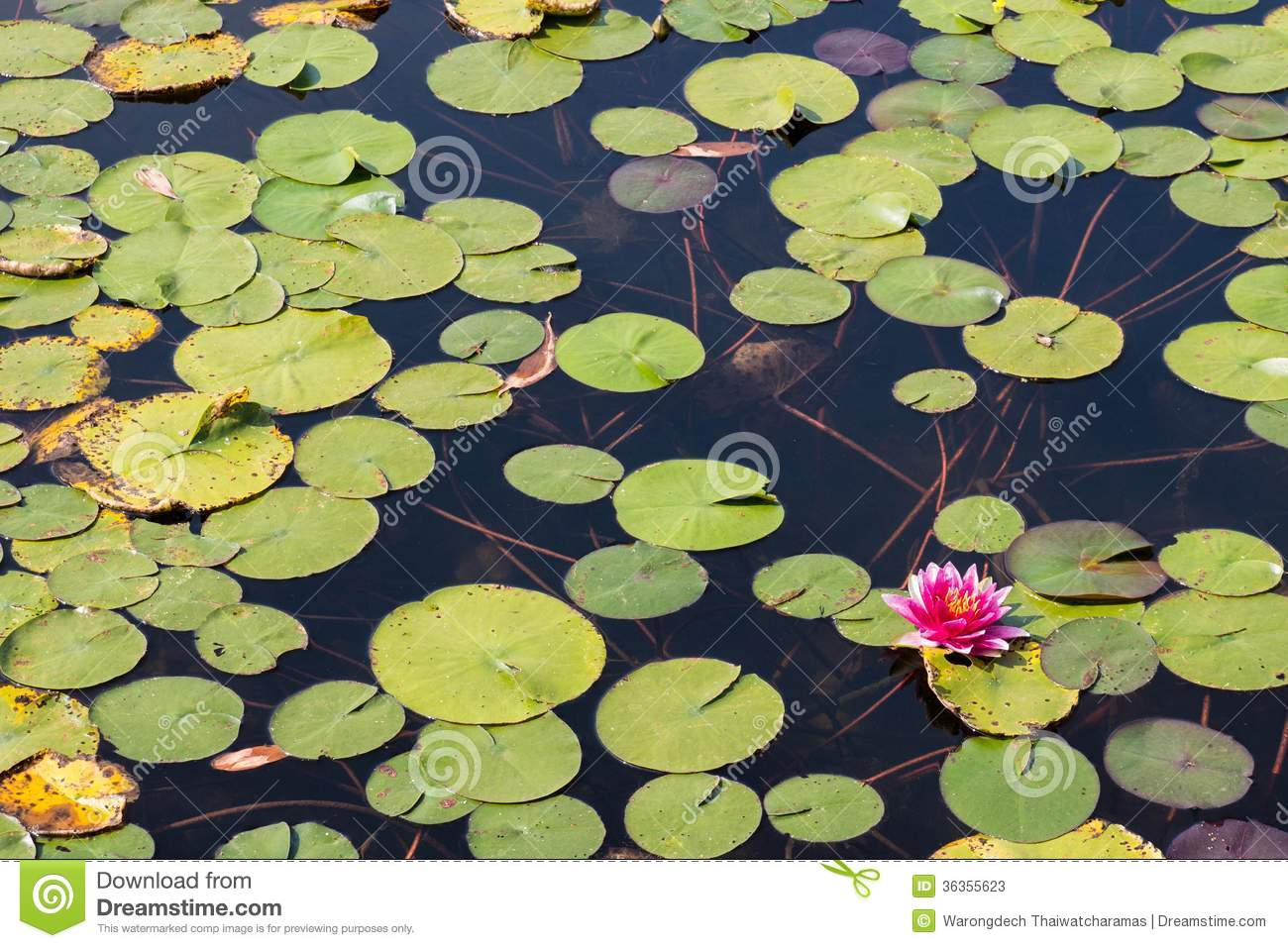 Lotus Flower In Buddhism Stock Image Image Of Giant 36355623