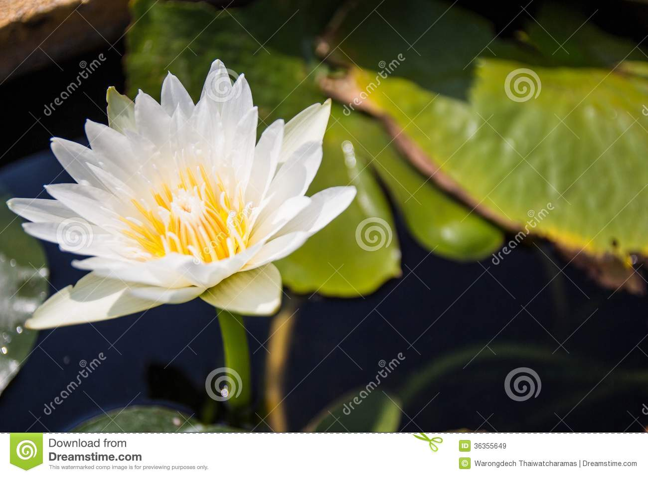 Lotus Flower In Buddhism Stock Image Image Of Exotic 36355649