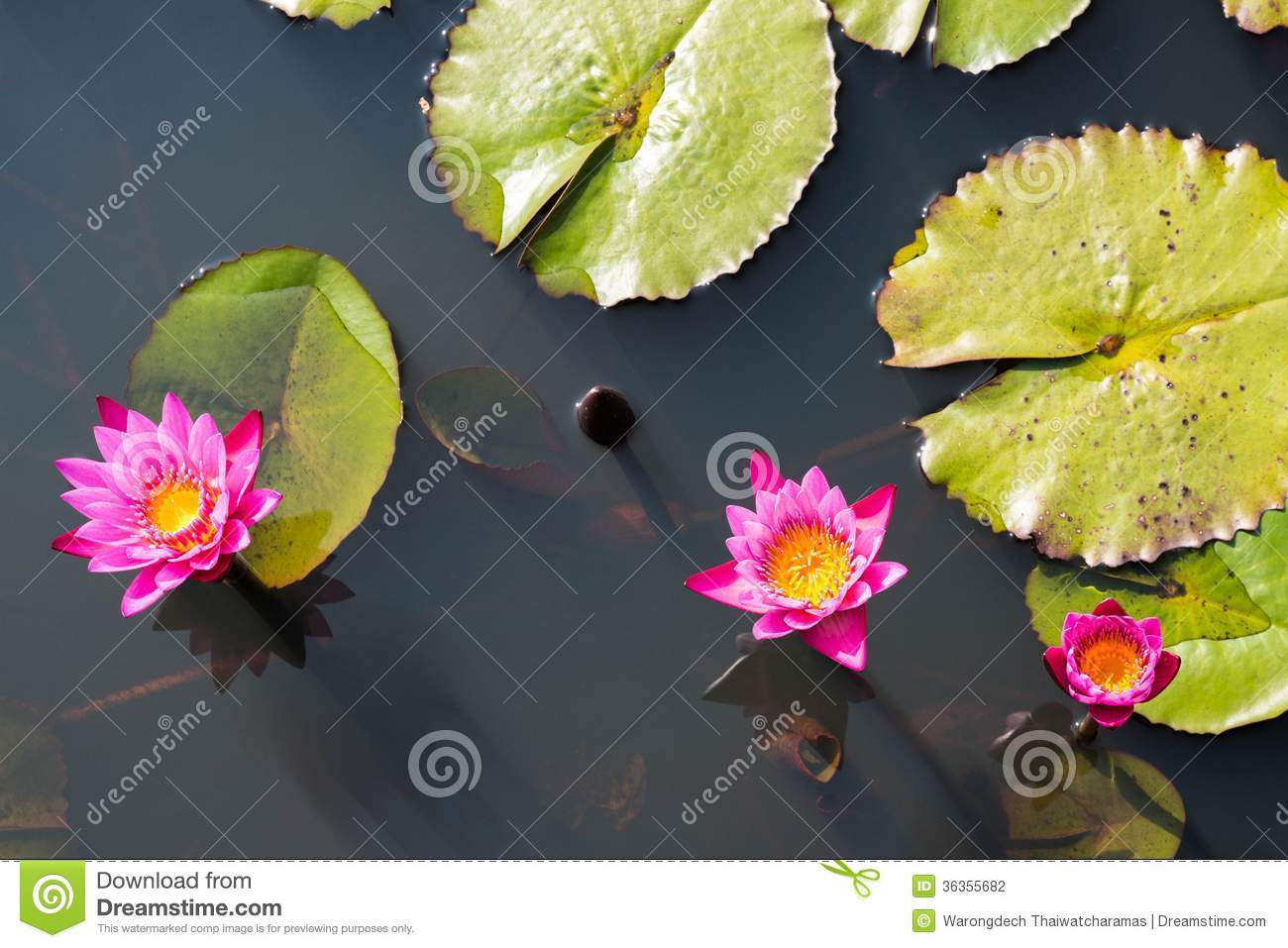 Lotus flower in buddhism stock photo image of botanical 36355682 download lotus flower in buddhism stock photo image of botanical 36355682 izmirmasajfo