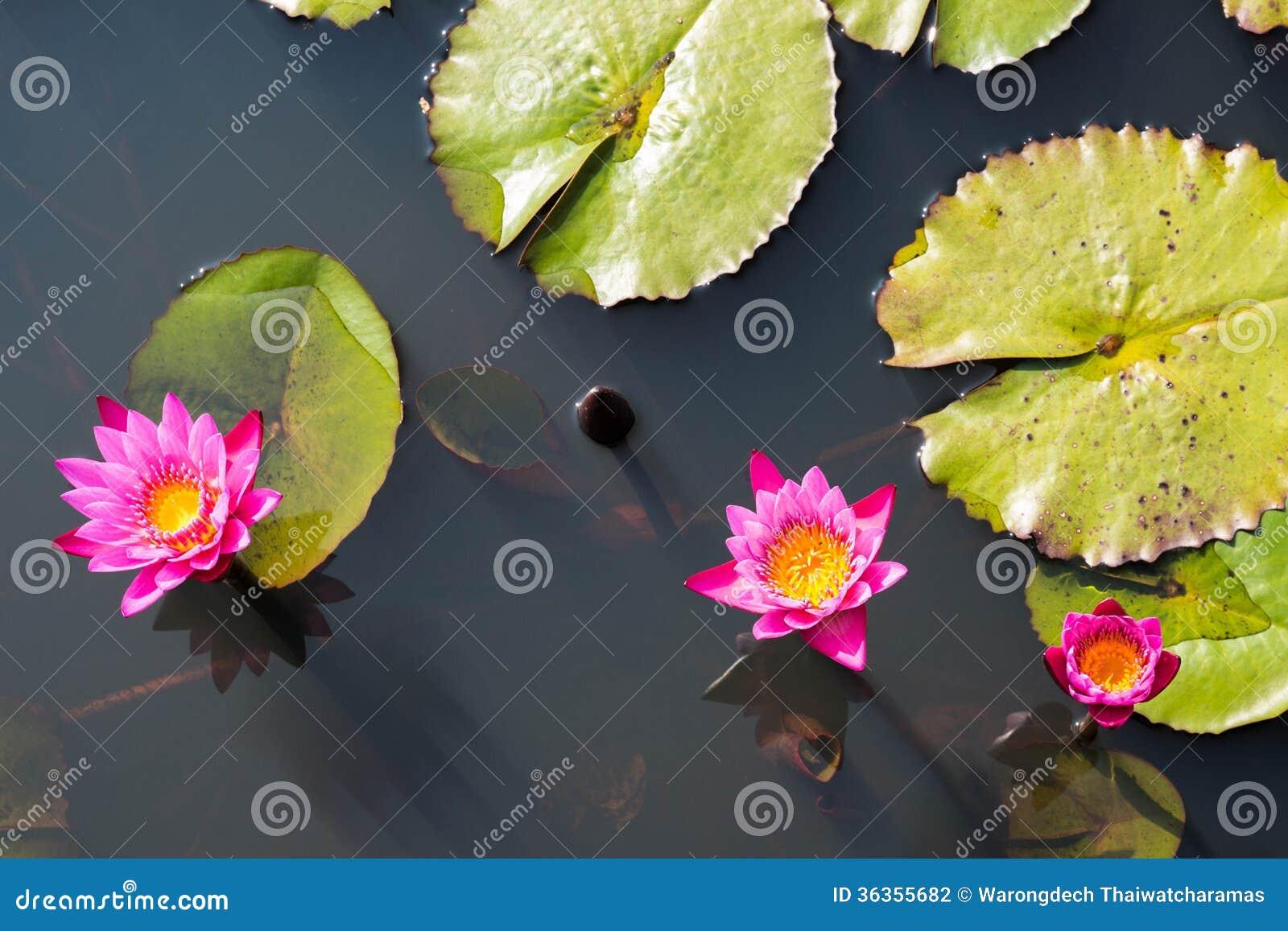 Lotus Flower In Buddhism Stock Photo Image Of Botanical 36355682