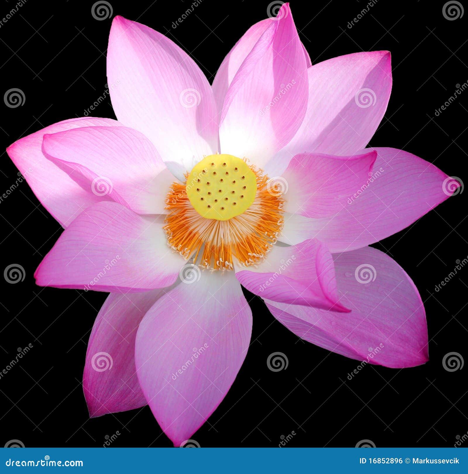 Lotus Flower In China Stock Photo Image Of Beautiful 16852896