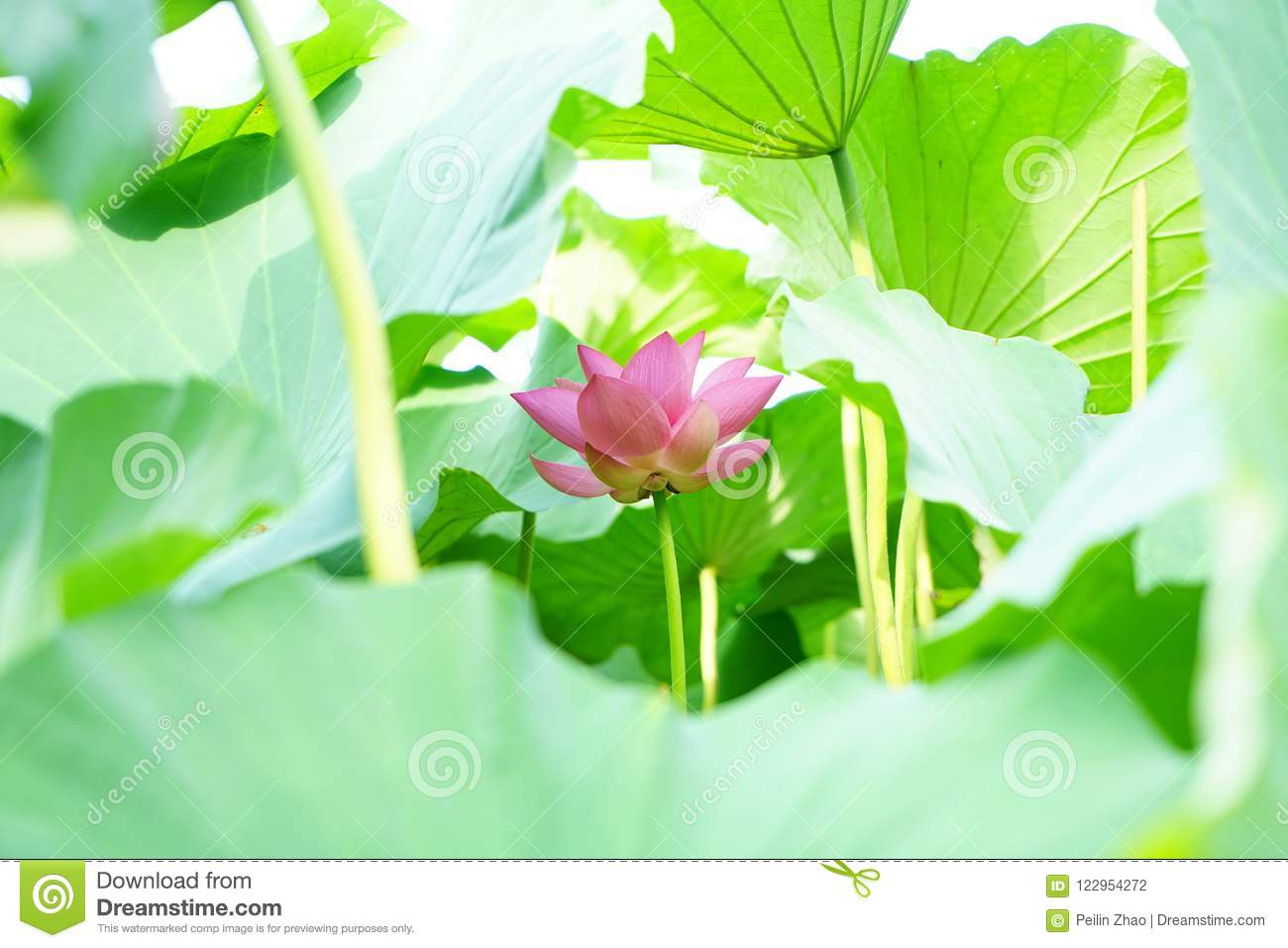 A lotus flower circled by leaves on the water stock photo image of a lotus flower circled by leavese flower is quiet growing upjust like a baby smile face is very purity izmirmasajfo