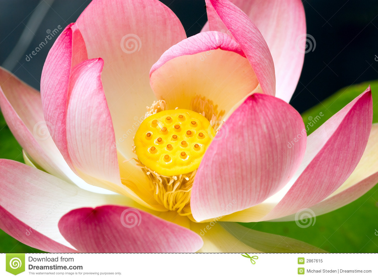 Lotus Flower Close Up Stock Image Image Of Beauty Waterlily 2867615