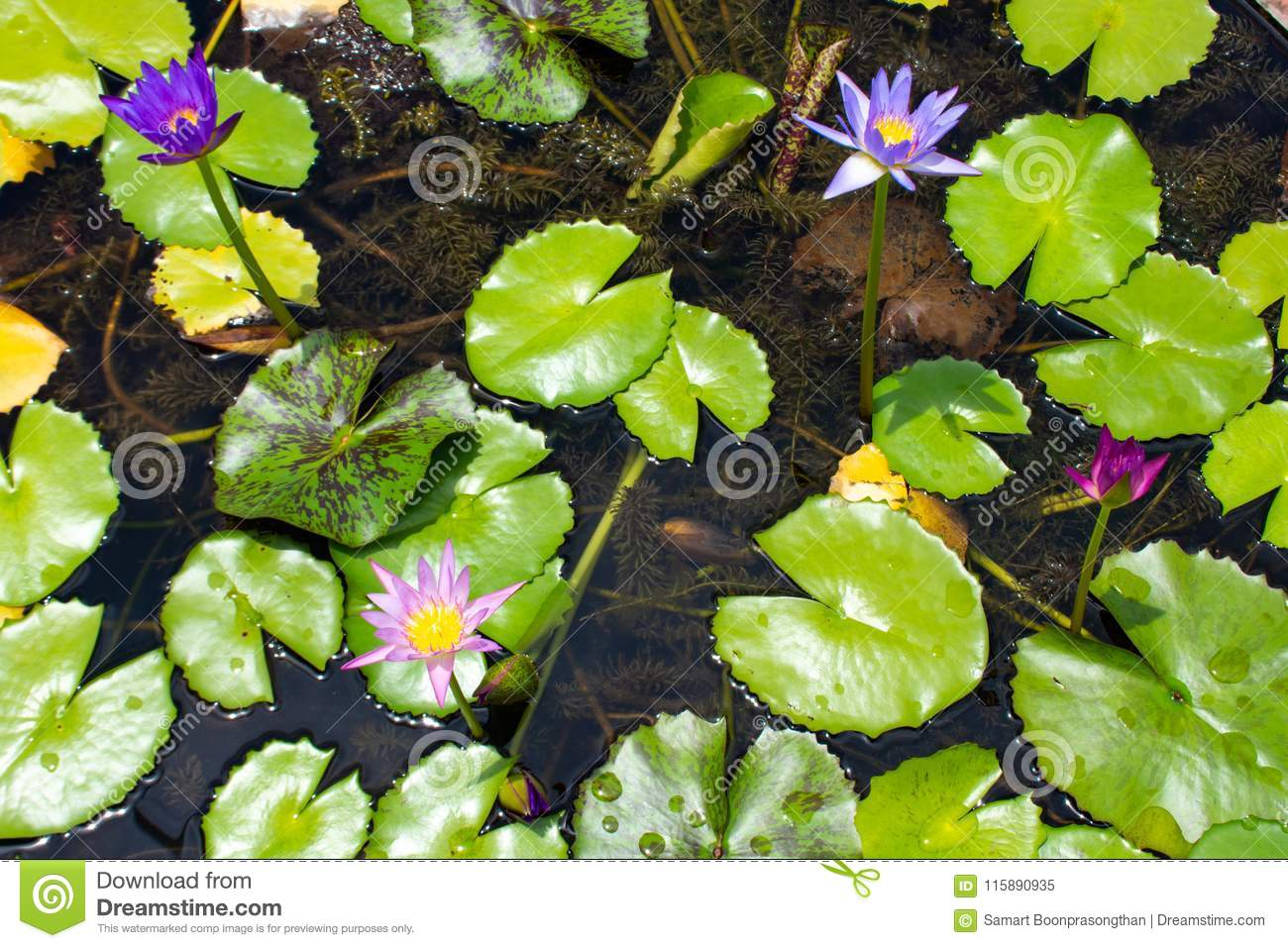 Lotus Flower Colors Stock Image Image Of Botany Oriental 115890935