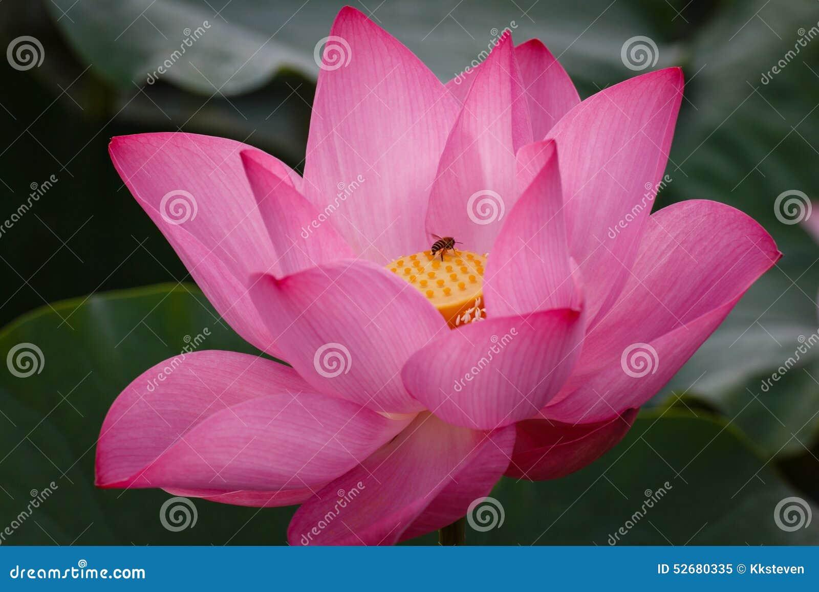 Lotus Flower com a abelha