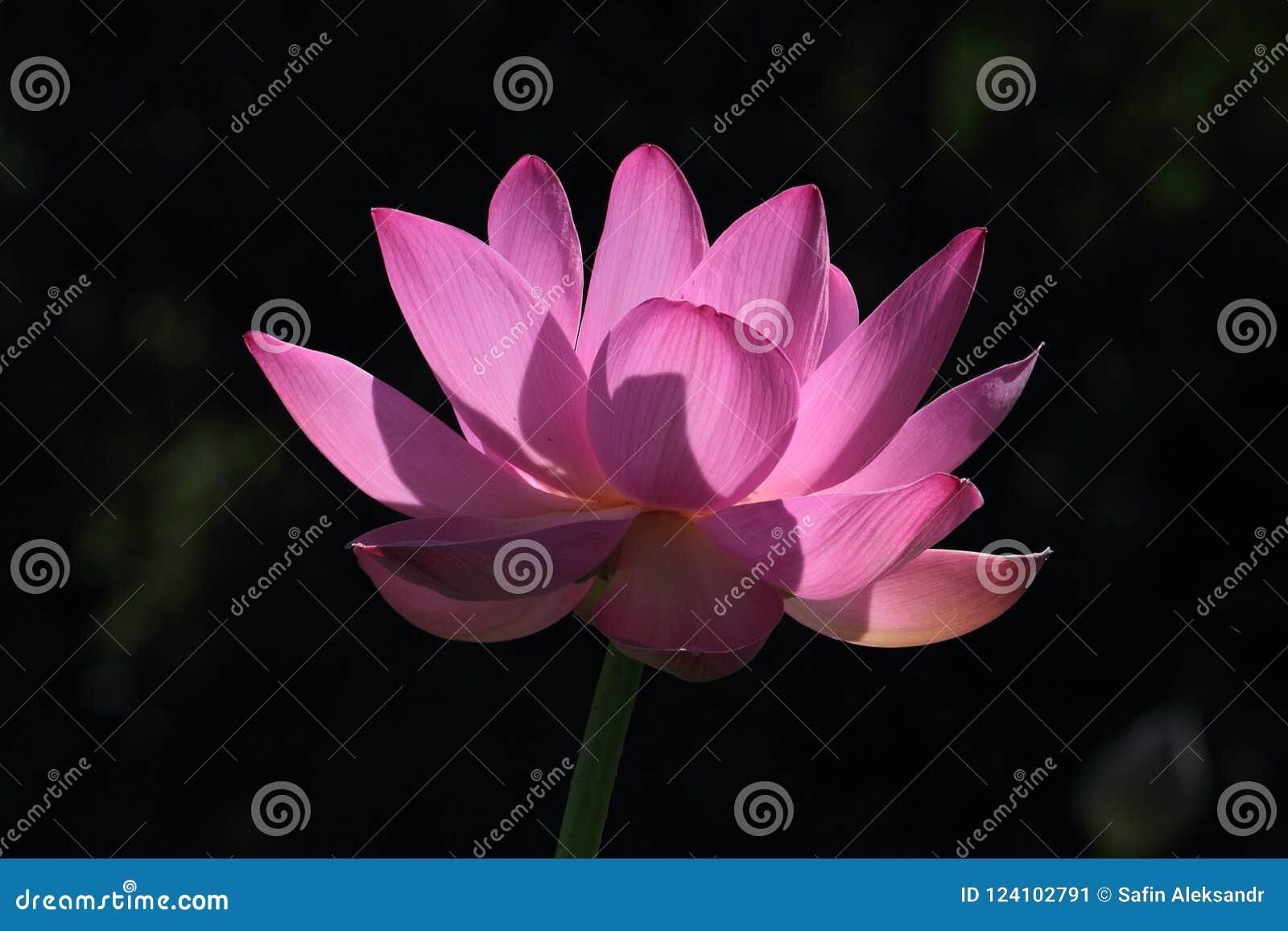 Lotus flower counter light stock image image of flower pink big lotus flower counter light far east russia mightylinksfo